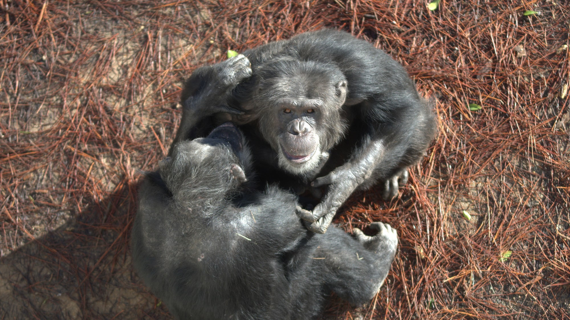 Shot looking down on a smiling Hugo playing with another Chimp. Hugo's group. (Nicholas Chapoy)
