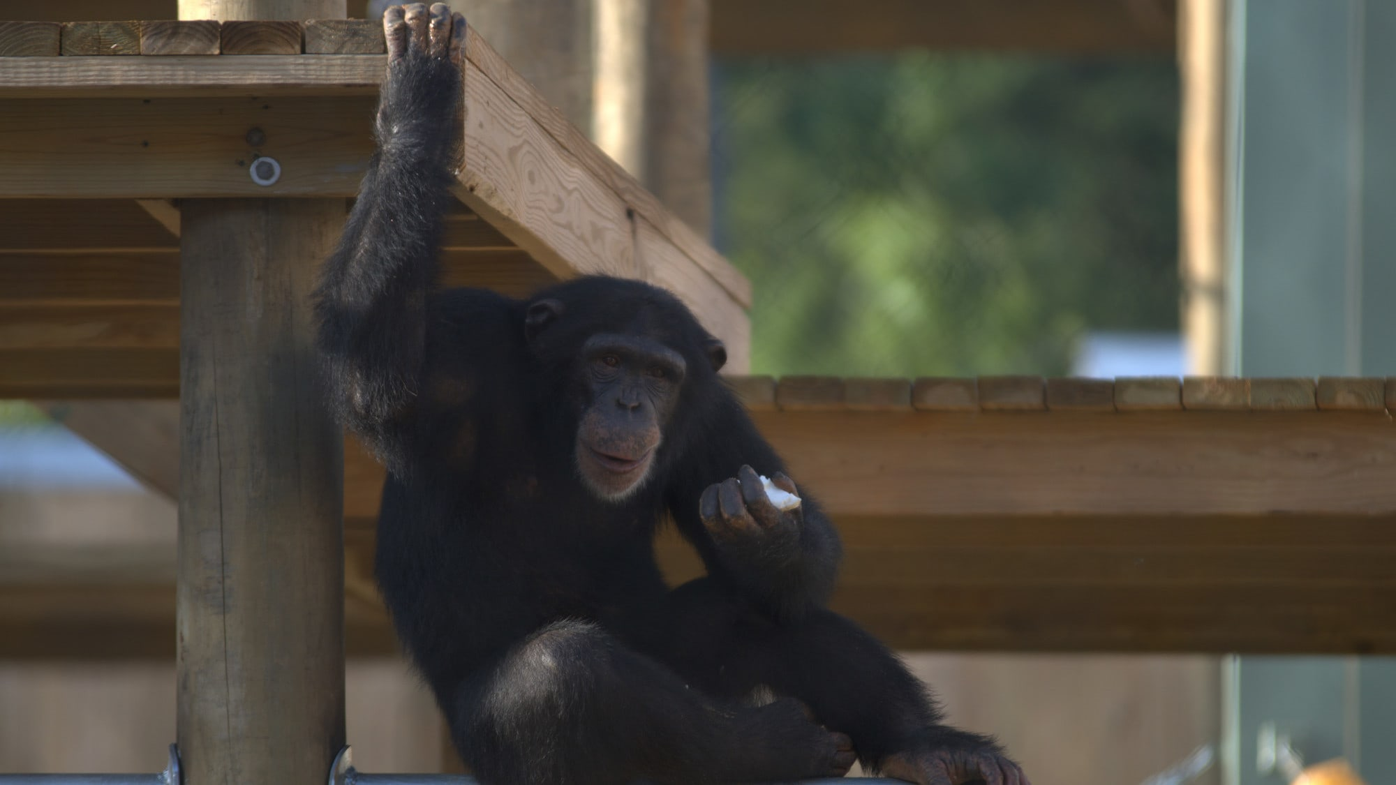 Riley is sat on horizontal metal pole, holding onto the platform above for support with one hand whilst holding a piece of banana in the other. Slim's group.   (Nicholas Chapoy)