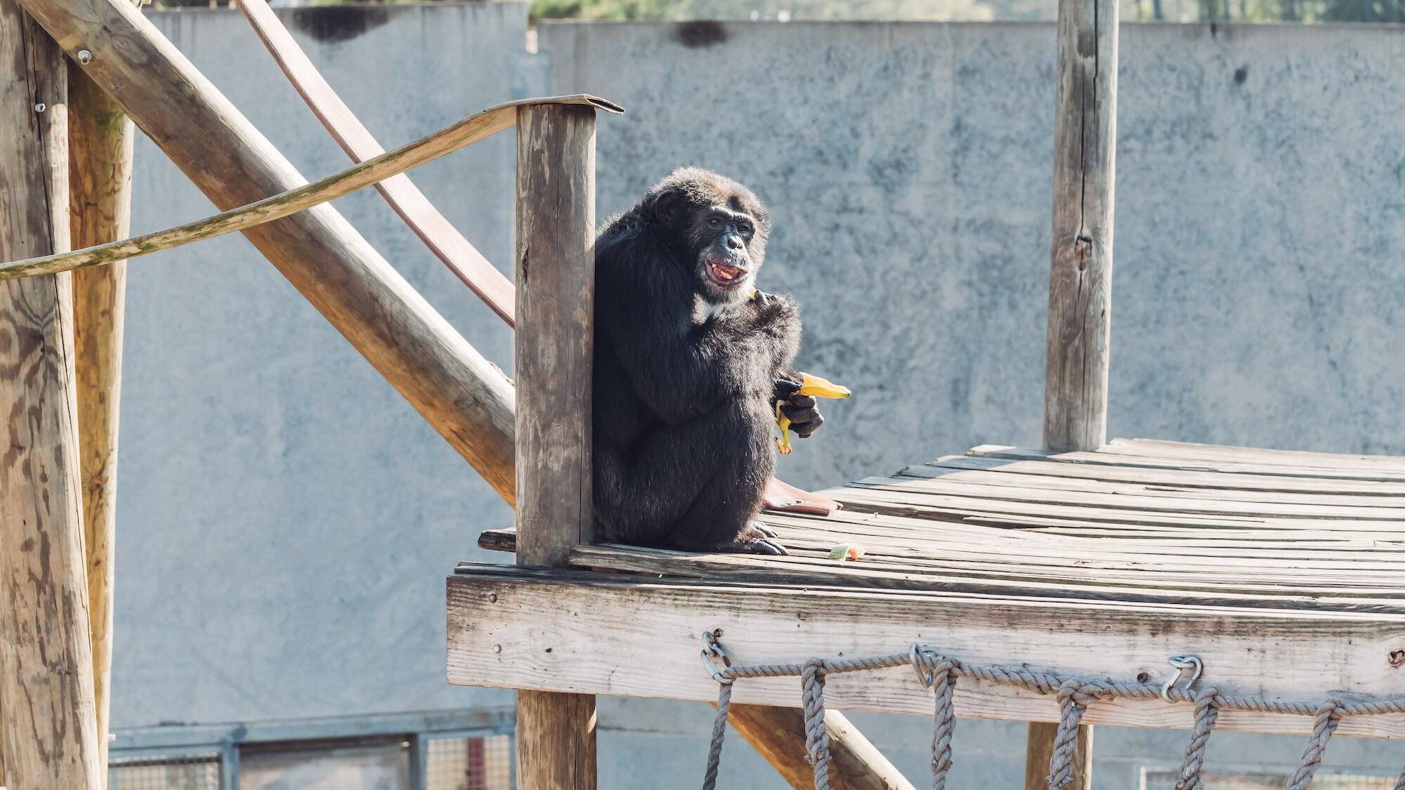 Alpha male Donovan, sat on platform eating a banana. Donovan's group. (Chimp Haven/Karalee Scouten)