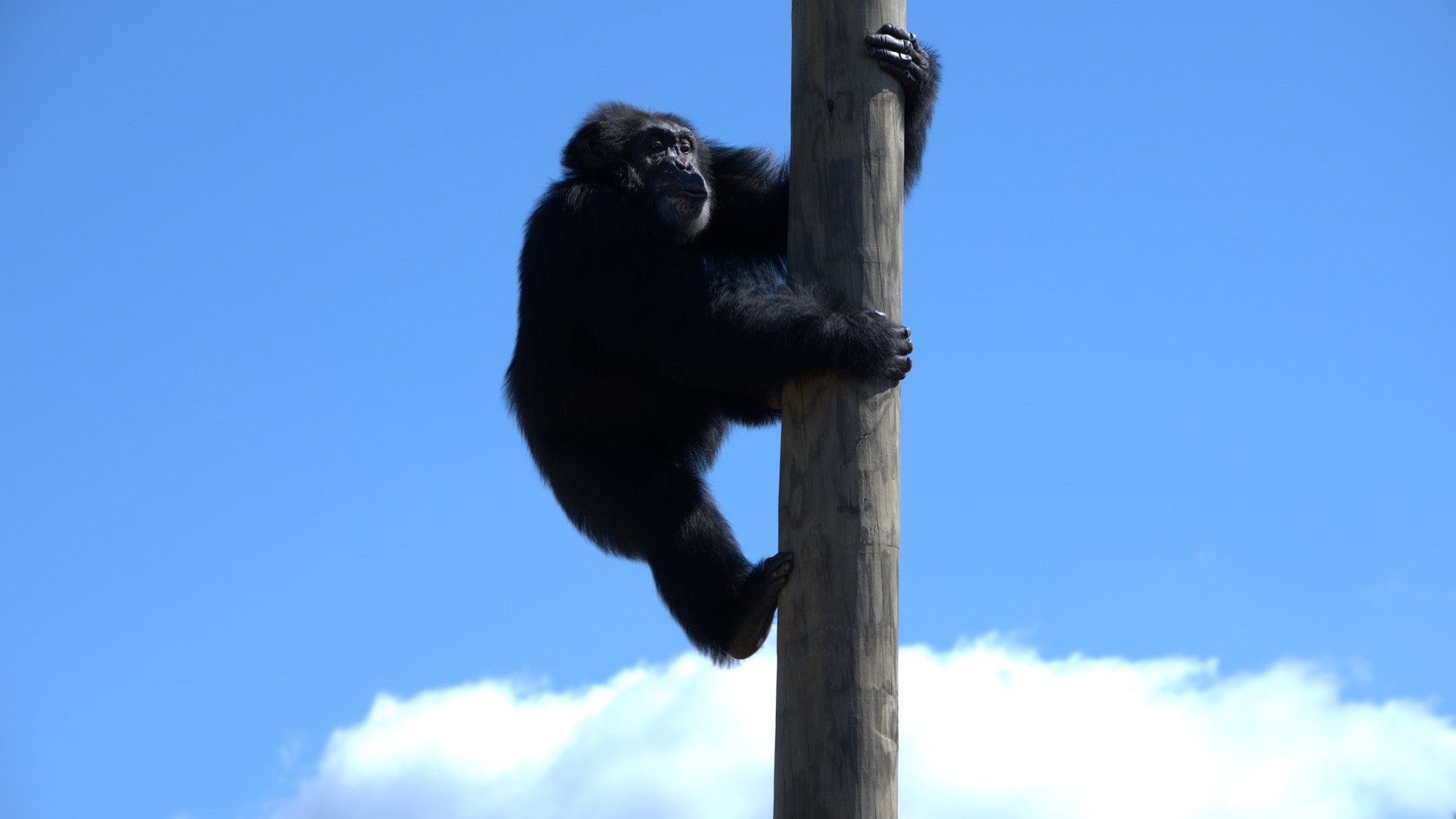 Henry climbing up pole. Donovan's group. (Chimp Haven/Karalee Scouten)