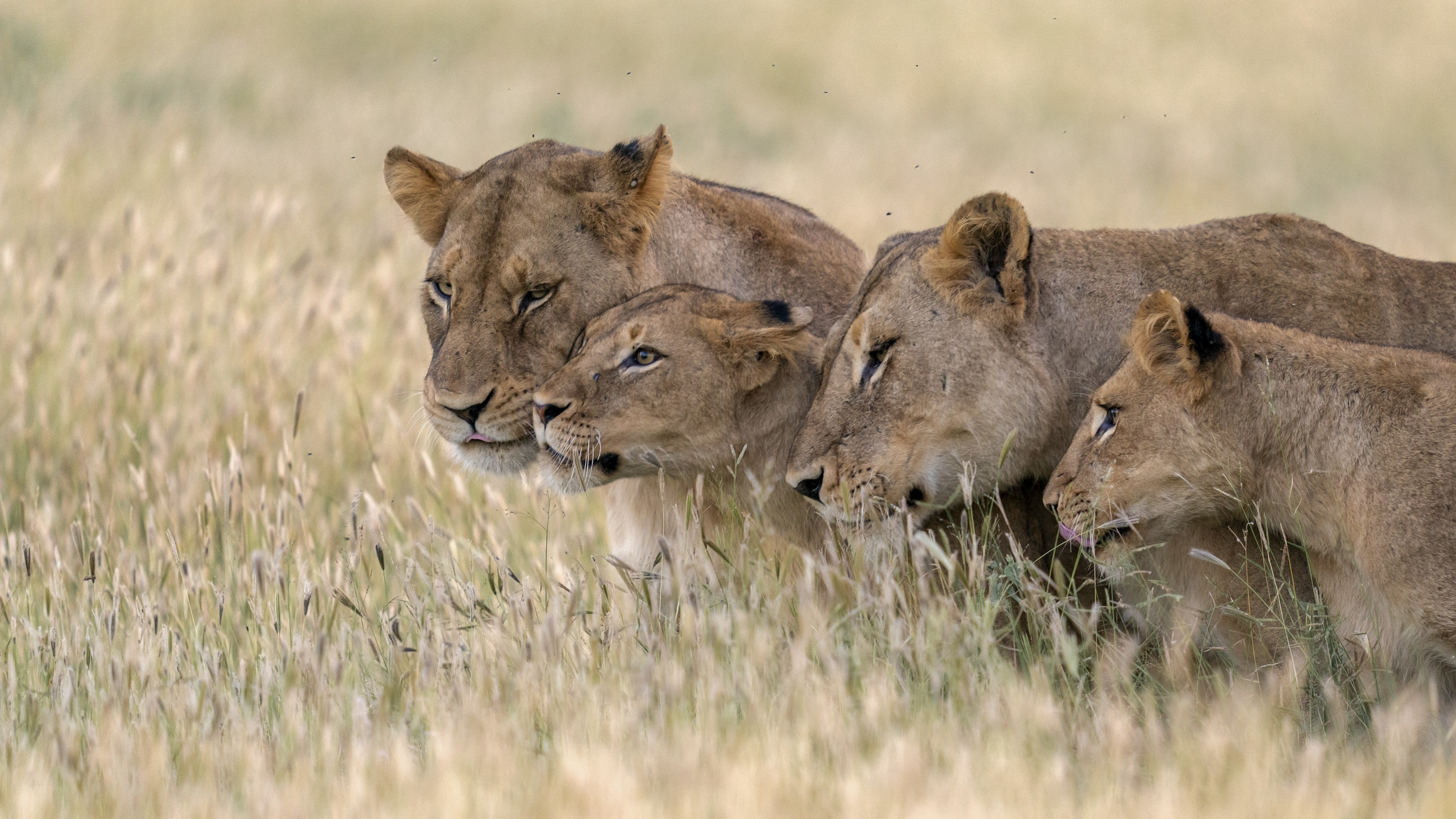 Malika, Ama and two cubs nuzzle one another. (National Geographic for Disney+/Russell MacLaughlin)