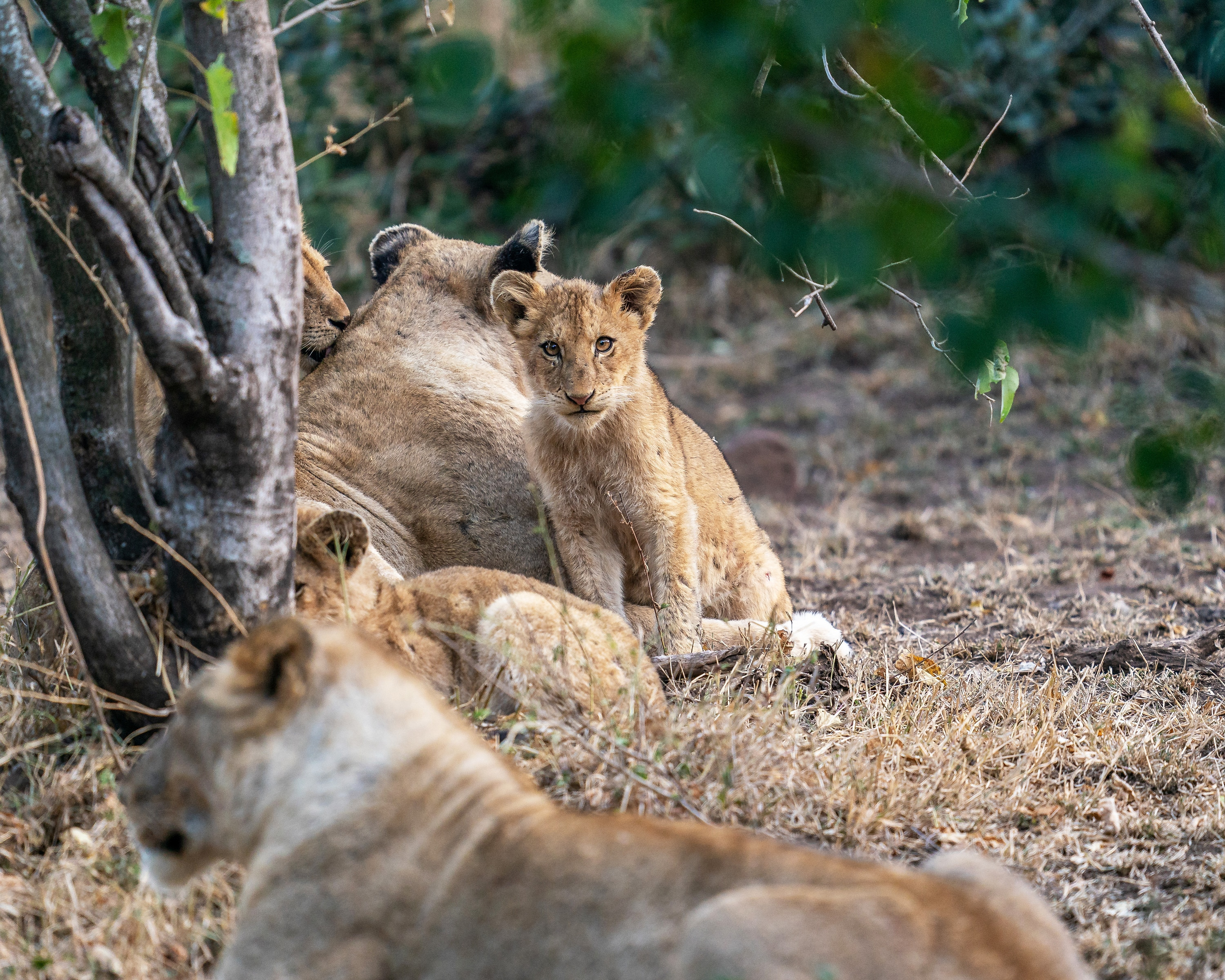 Cub Issa surrounded by her family. (National Geographic for Disney+/Russell MacLaughlin)