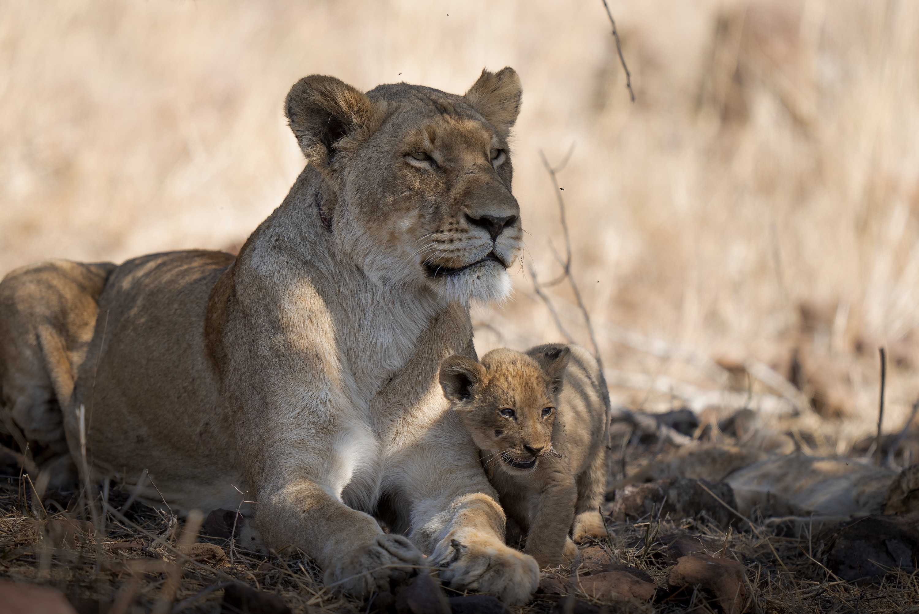 Malika with cub Issa. (National Geographic for Disney+/Russell MacLaughlin)