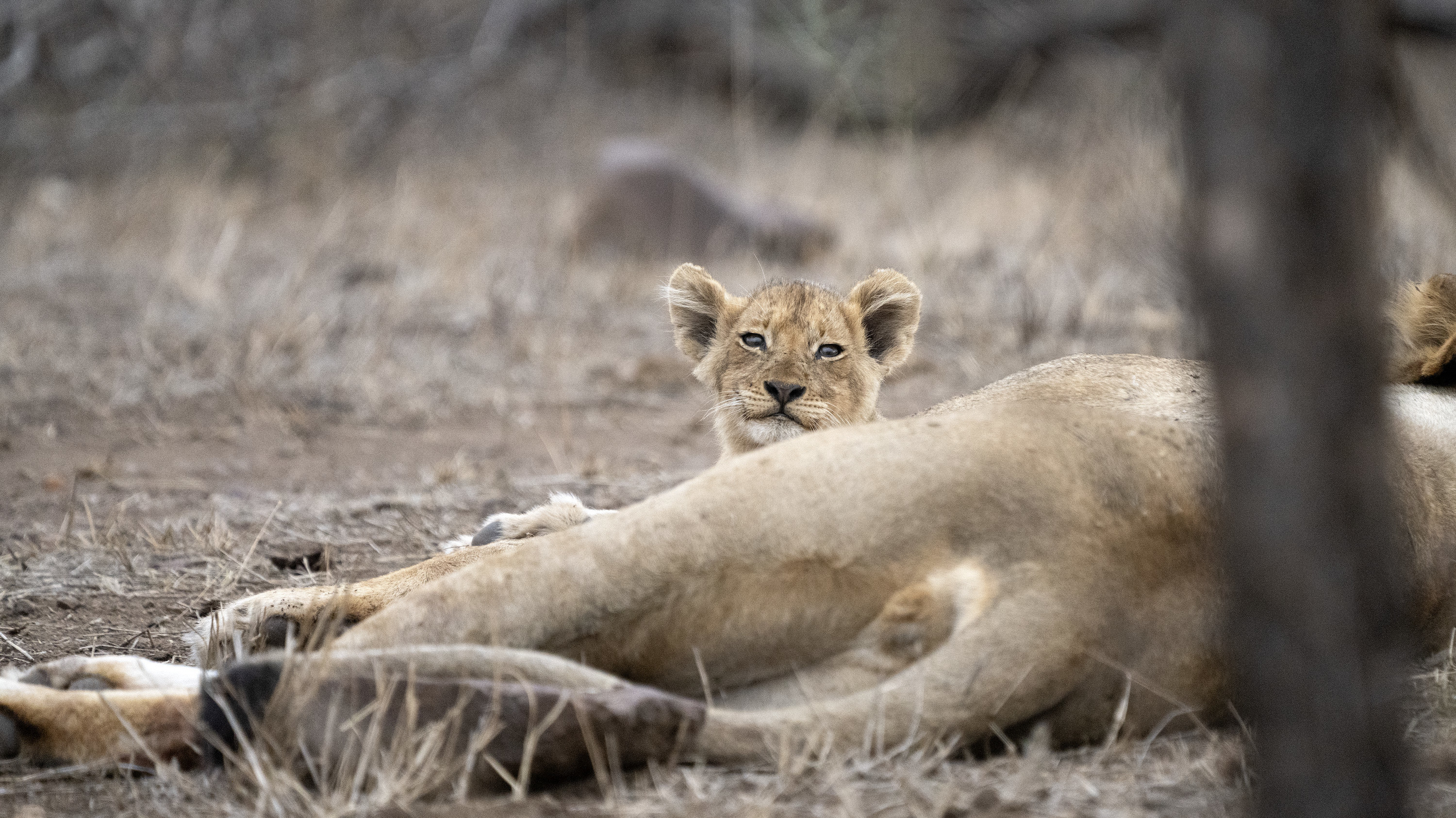 Malika rests with cub Issa. (National Geographic for Disney+/Russell MacLaughlin)