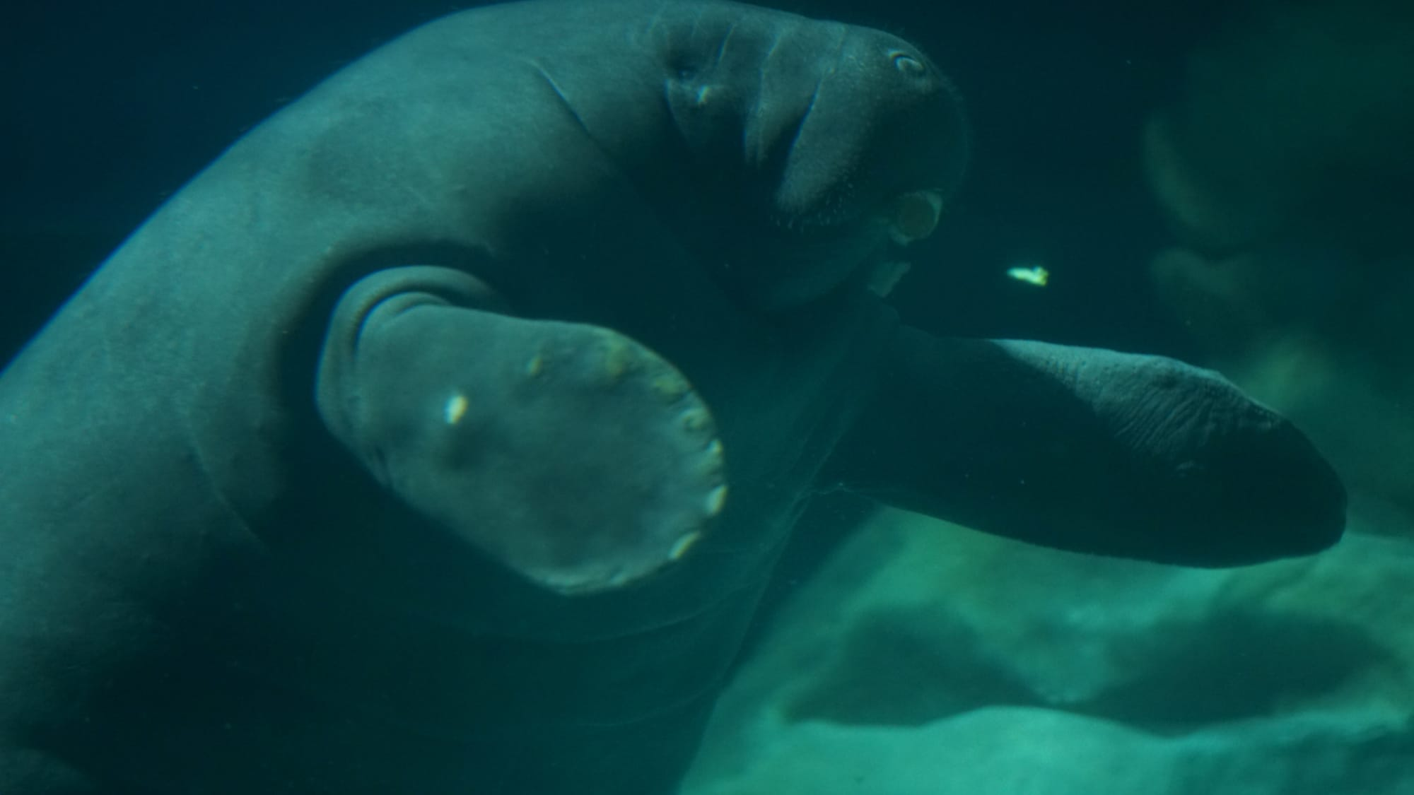 Lou, the West Indian manatee, swimming at The Seas with Nemo & Friends. (Disney)