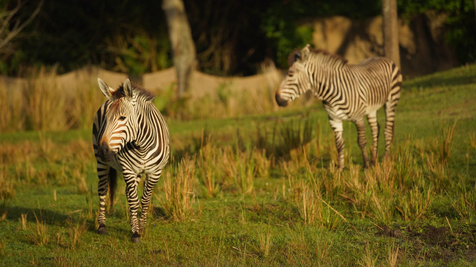 Prima and Domino the Hartmann's Mountain Zebras. (Disney)