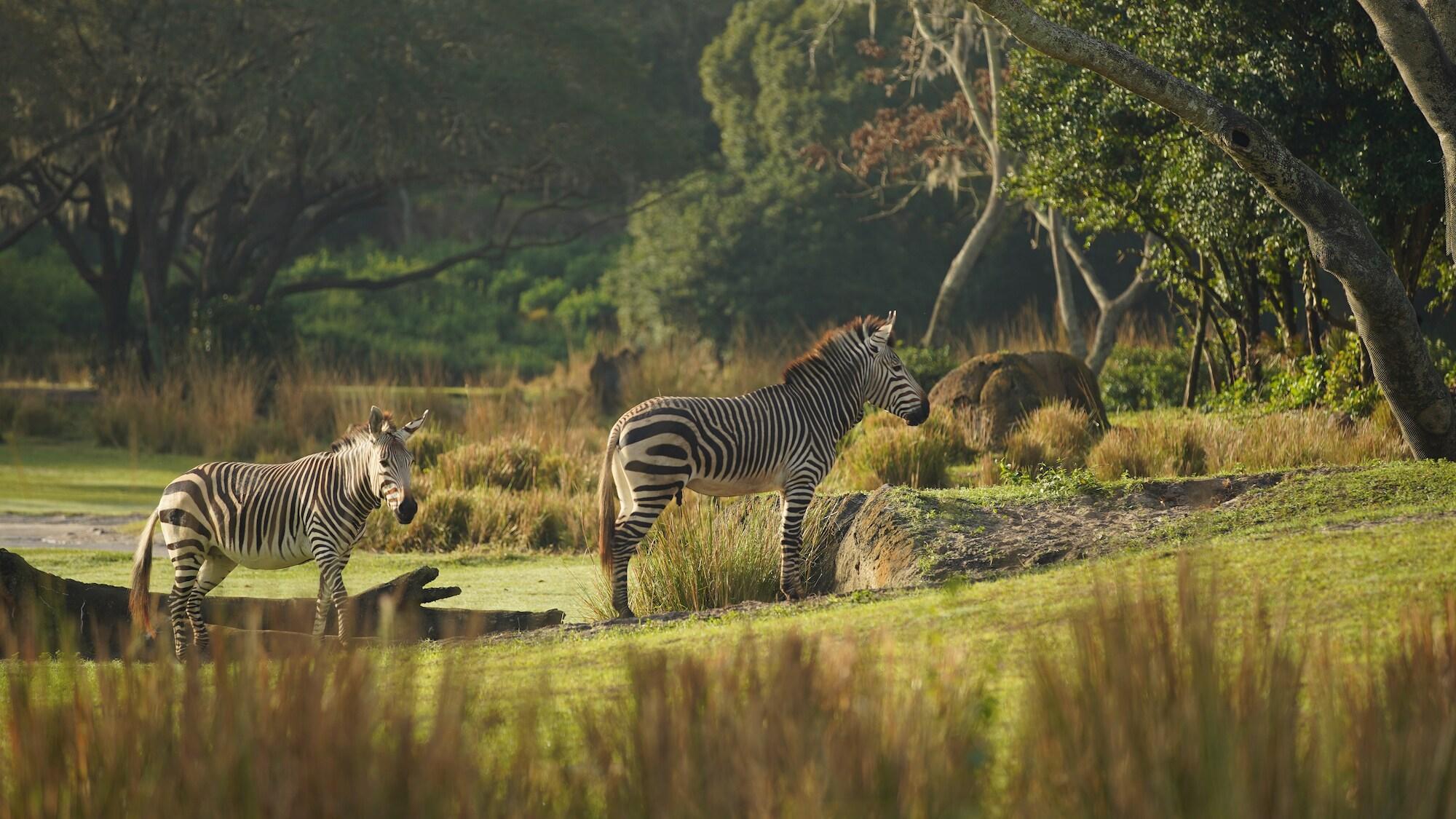 Hartmann's Mountain Zebras on the savanna at Kilimanjaro Safari. (Disney)