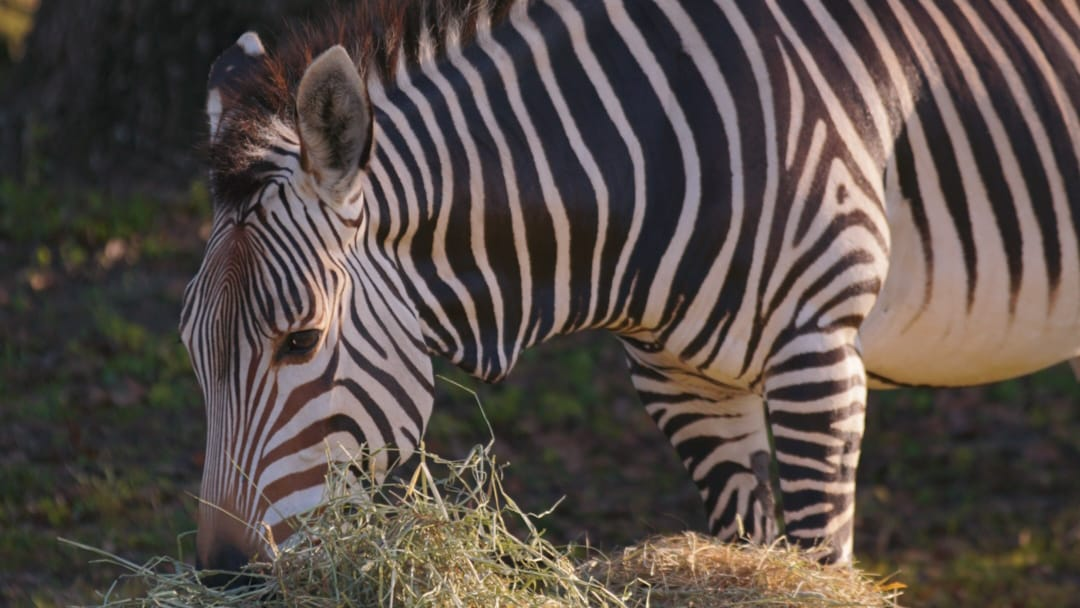 Hartmann's Mountain Zebra on the savanna at Kilimanjaro Safari. (Disney)