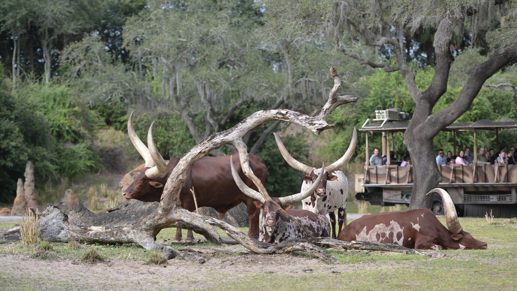 Ace, Audrey, Dixie-Jane, and Adeola the Ankole Cattle. (Charlene Guilliams/Disney)