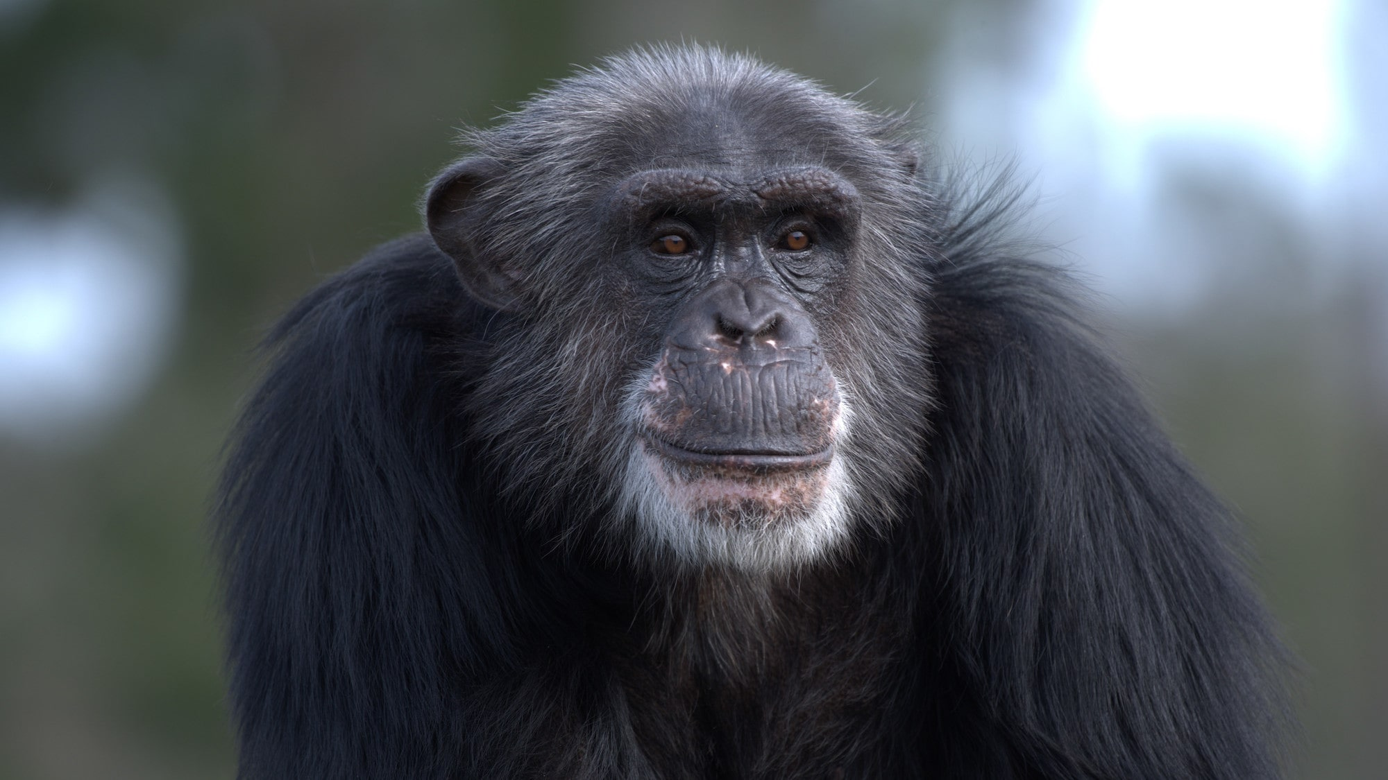 Close up of TJ. Spock's group. (Chimp Haven)