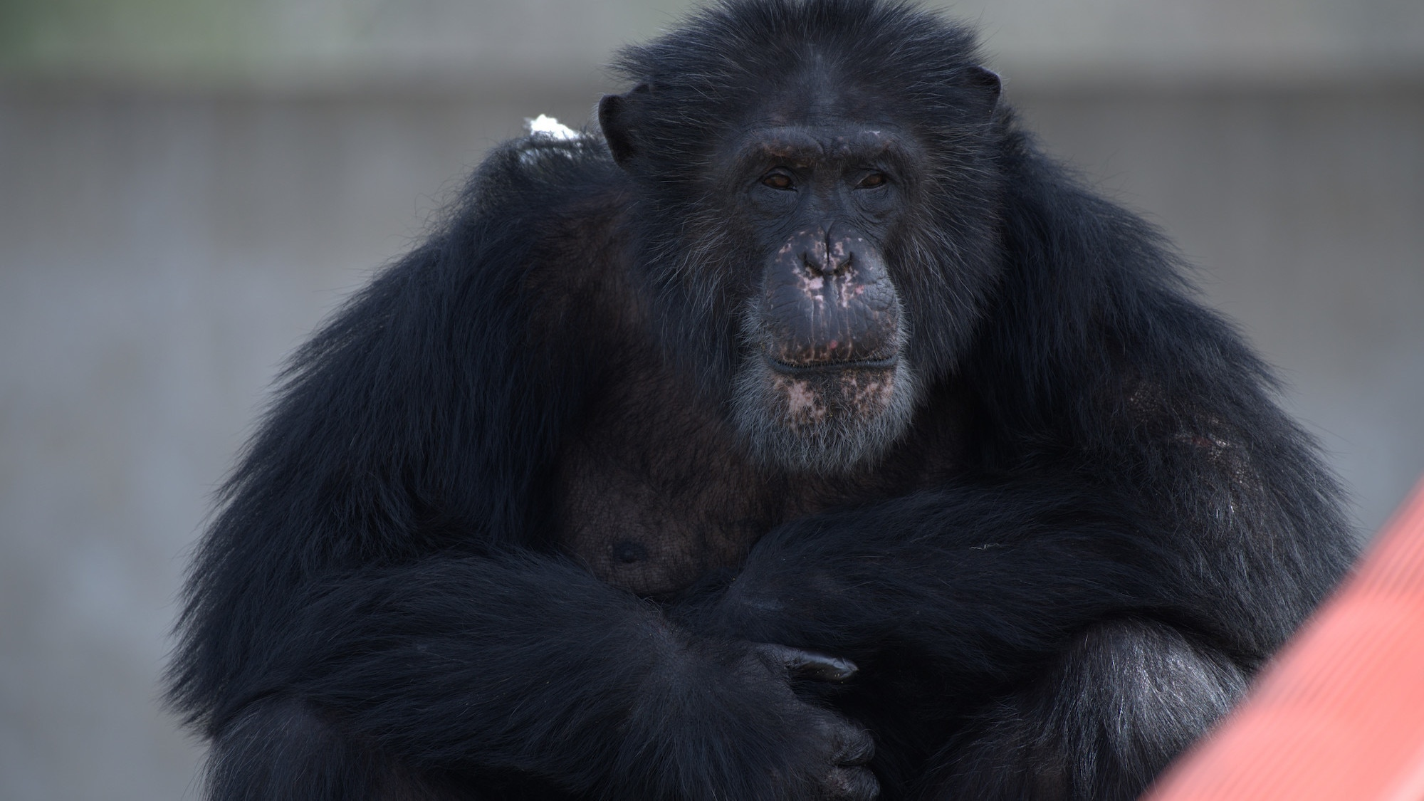 Austin sat, staring towards camera. Spock's group. (Chimp Haven)