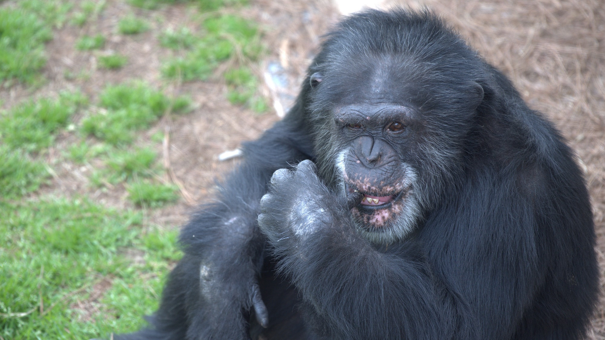 Bowen, cleaning teeth with thumb. Spock's group. (Chimp Haven)