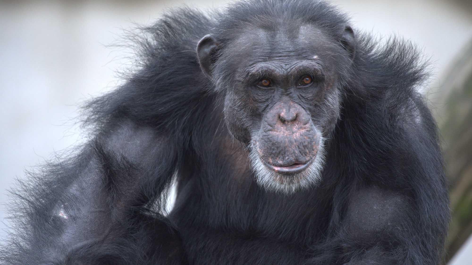 Close up of Shaq. Spock's group. (Chimp Haven)