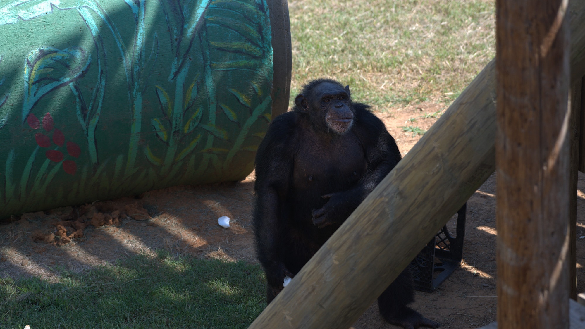 Robbie stands on two feet scratching her belly. Spock's group. (Chimp Haven)