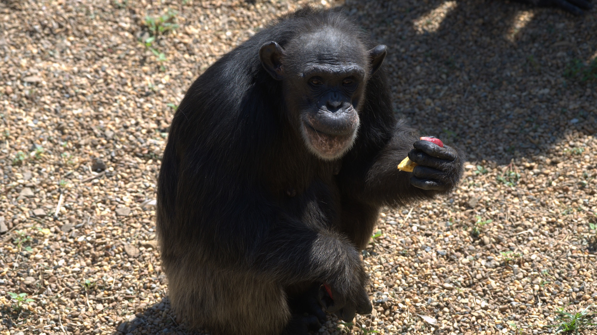 Heidi sitting. Spock's group. (Chimp Haven)