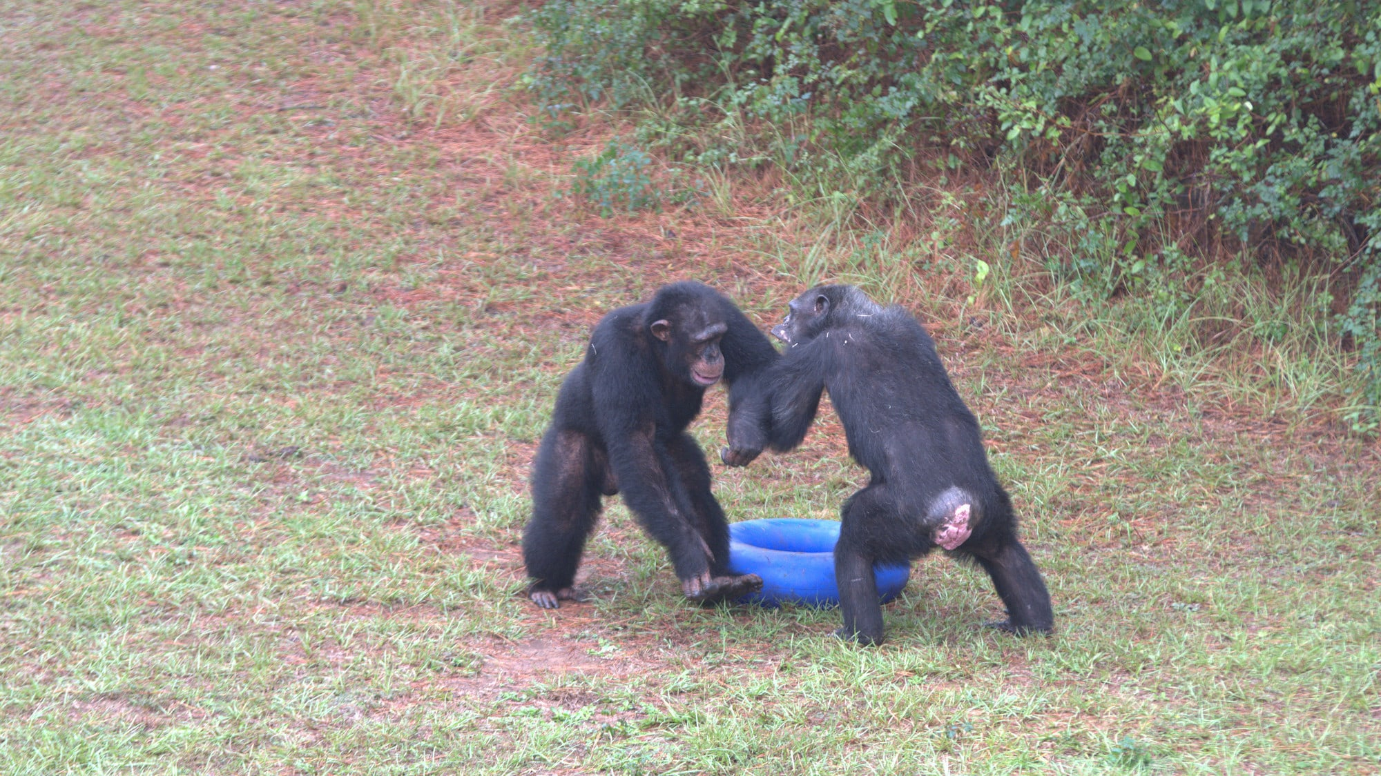 Jimmy Dean and another chimp standing bi-pedally squaring up to each other - asserting dominance. Sara Soda's group. (Nicholas Chapoy)