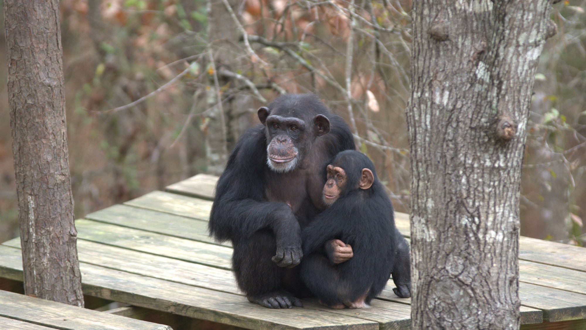 Passion and baby Carlee having a cuddle on a wooden platform in the trees. Sara Soda's group. (Nicholas Chapoy)