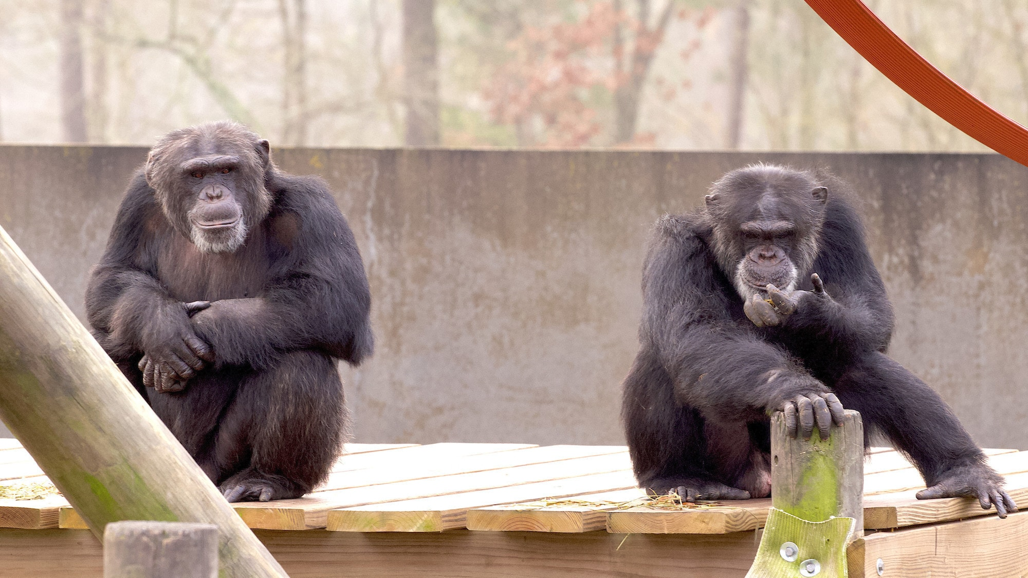 Chimps sat on wooden platform facing camera. (National Geographic/Jack Chapman)