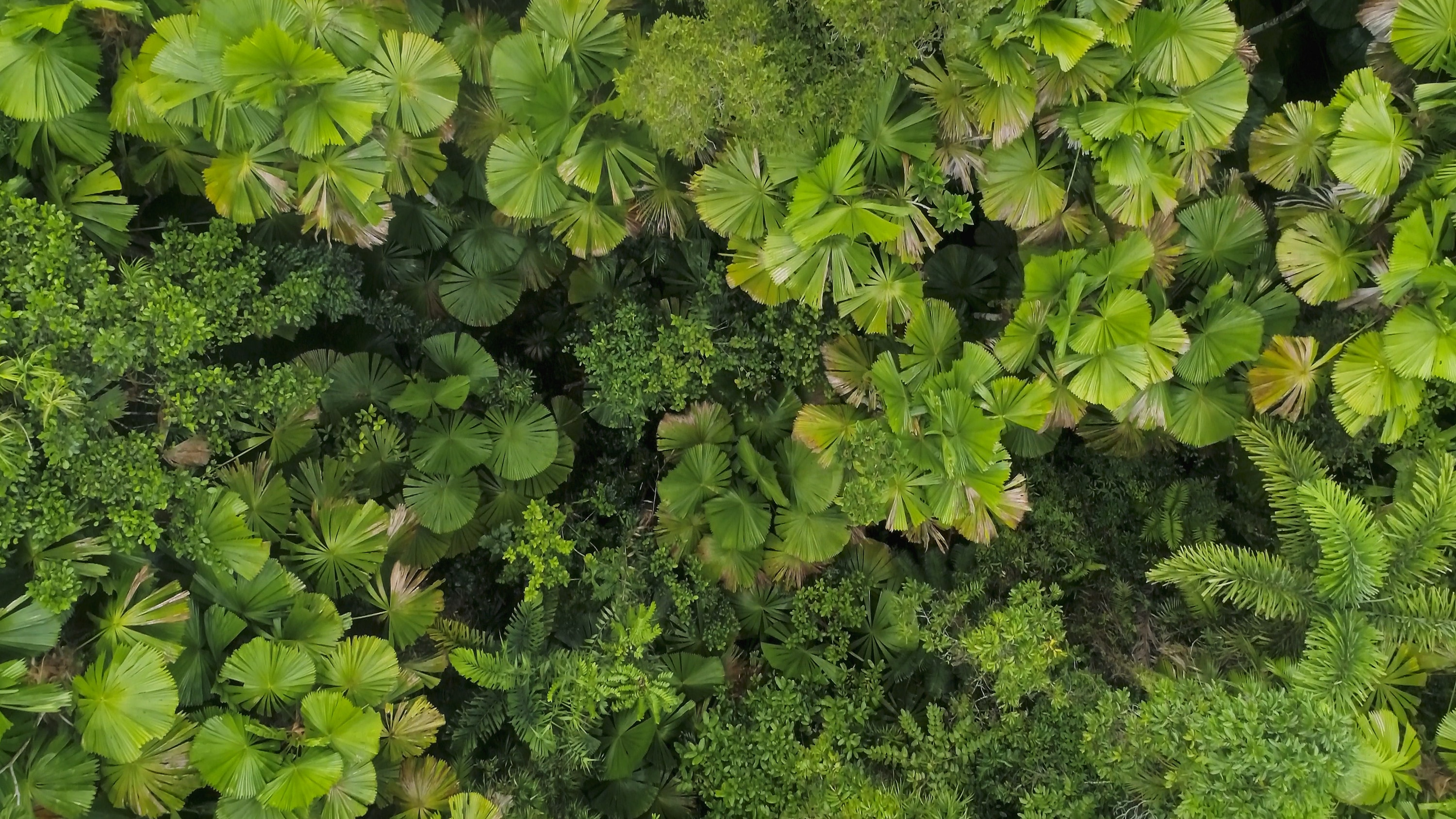 Top-down shot of the tree-top canopy in the Daintree Rainforest, Australia. (National Geographic for Disney+)