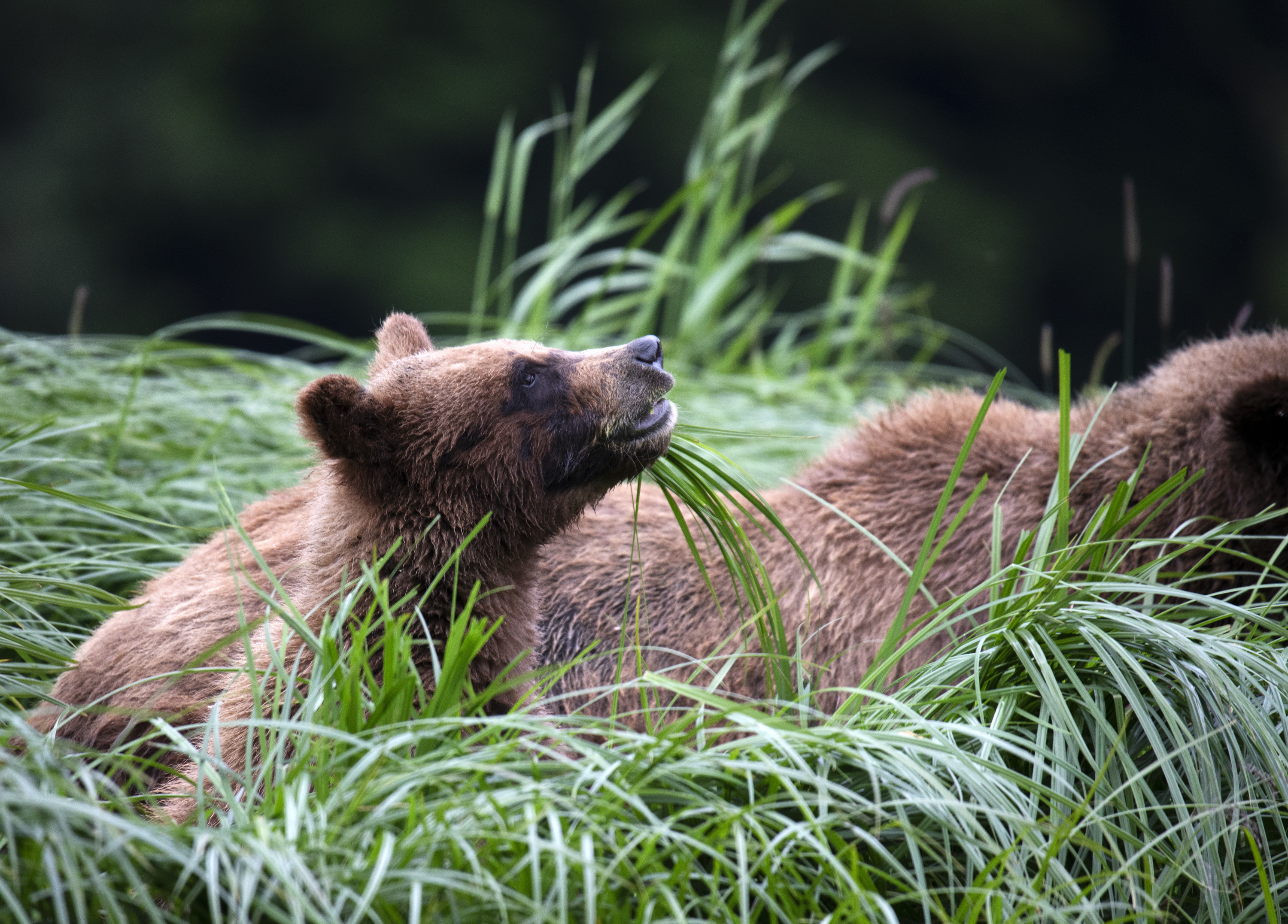 A grizzly bear cub eating sedge. (National Geographic for Disney+/Matthew Hood)
