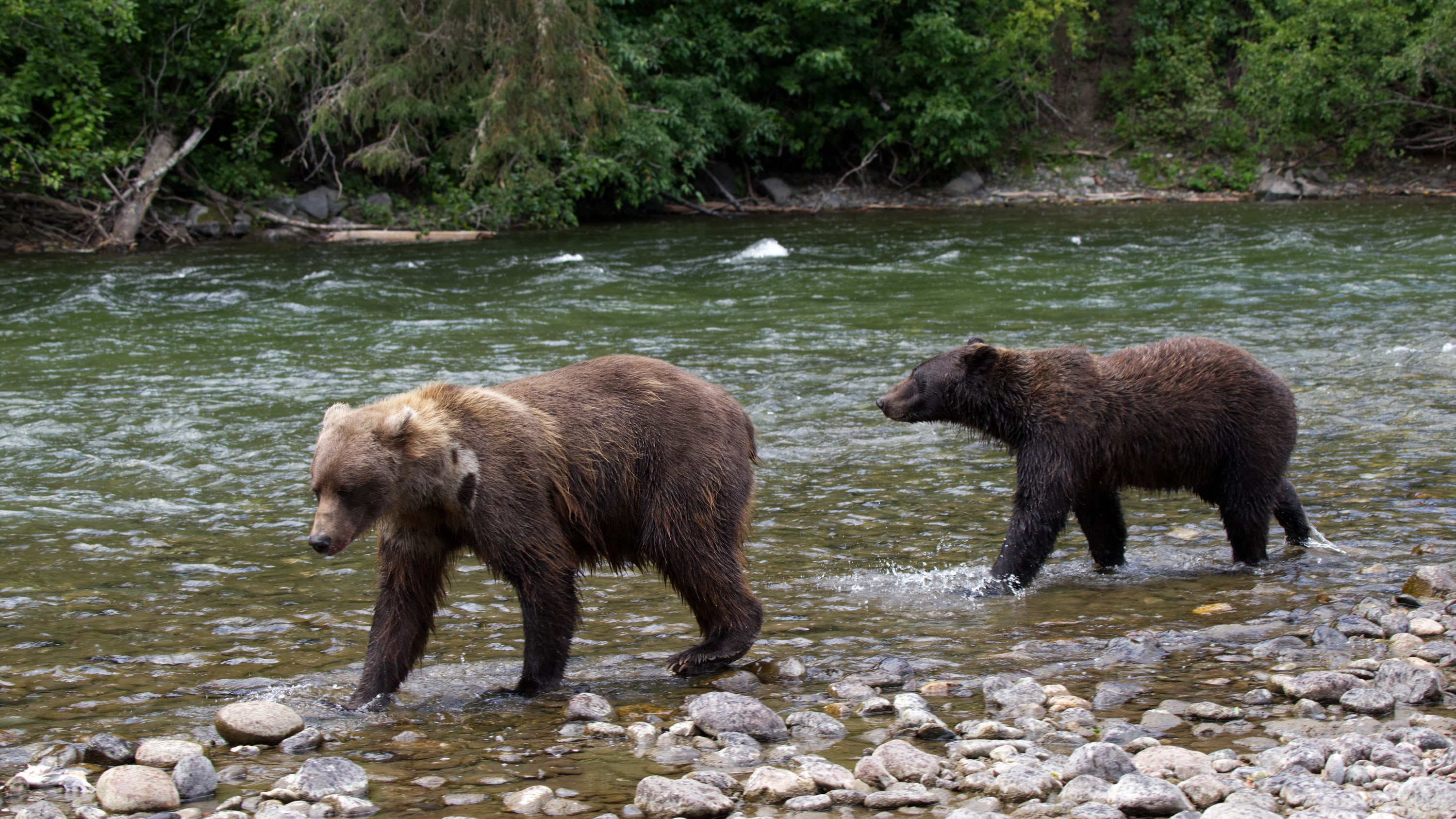 Two bears walk along the riverbank in the Great Bear Rainforest. (National Geographic for Disney+/Samuel Ellis)
