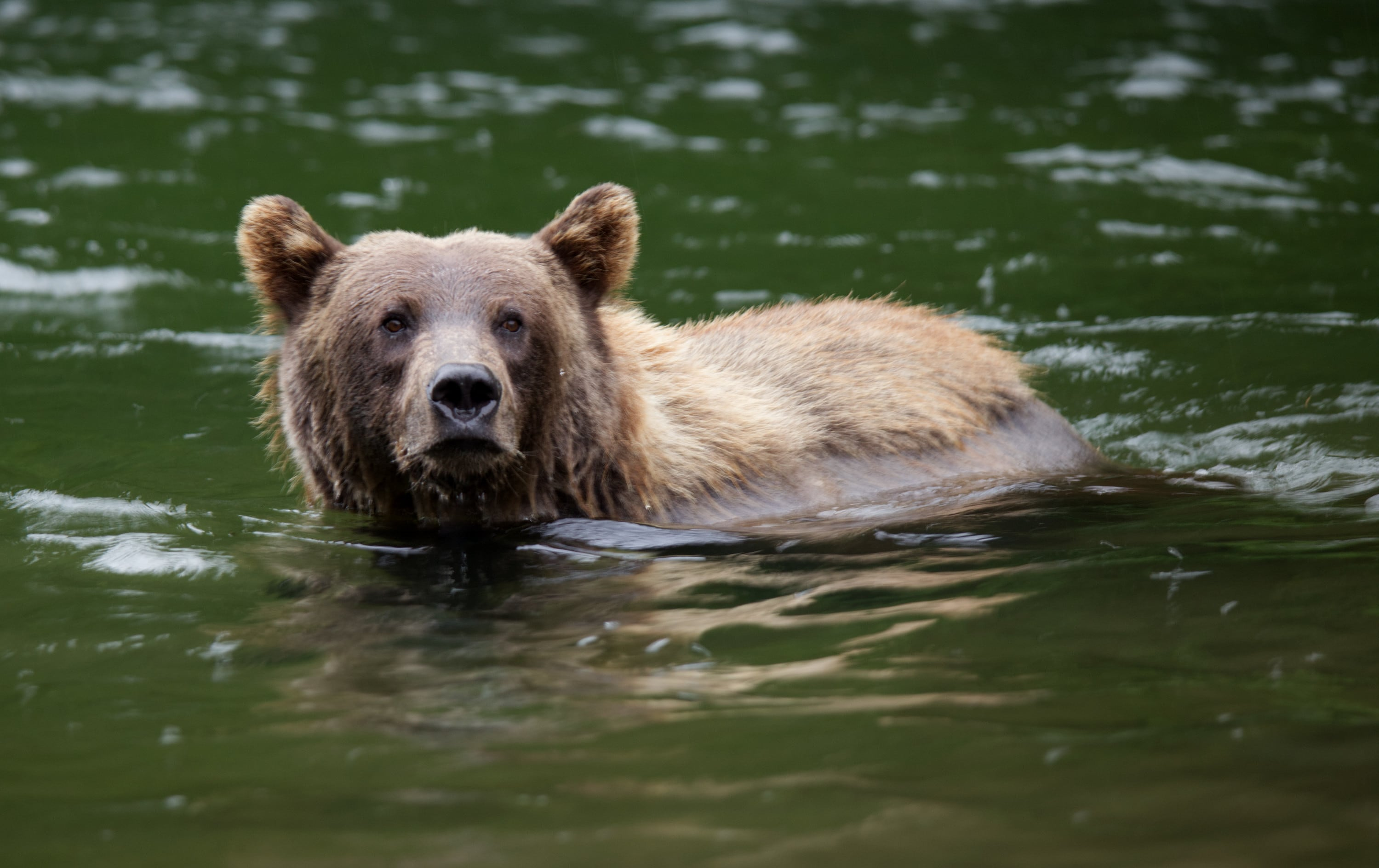 Fern the grizzly bear swims in water looking for salmon. (National Geographic for Disney+/Samuel Ellis)