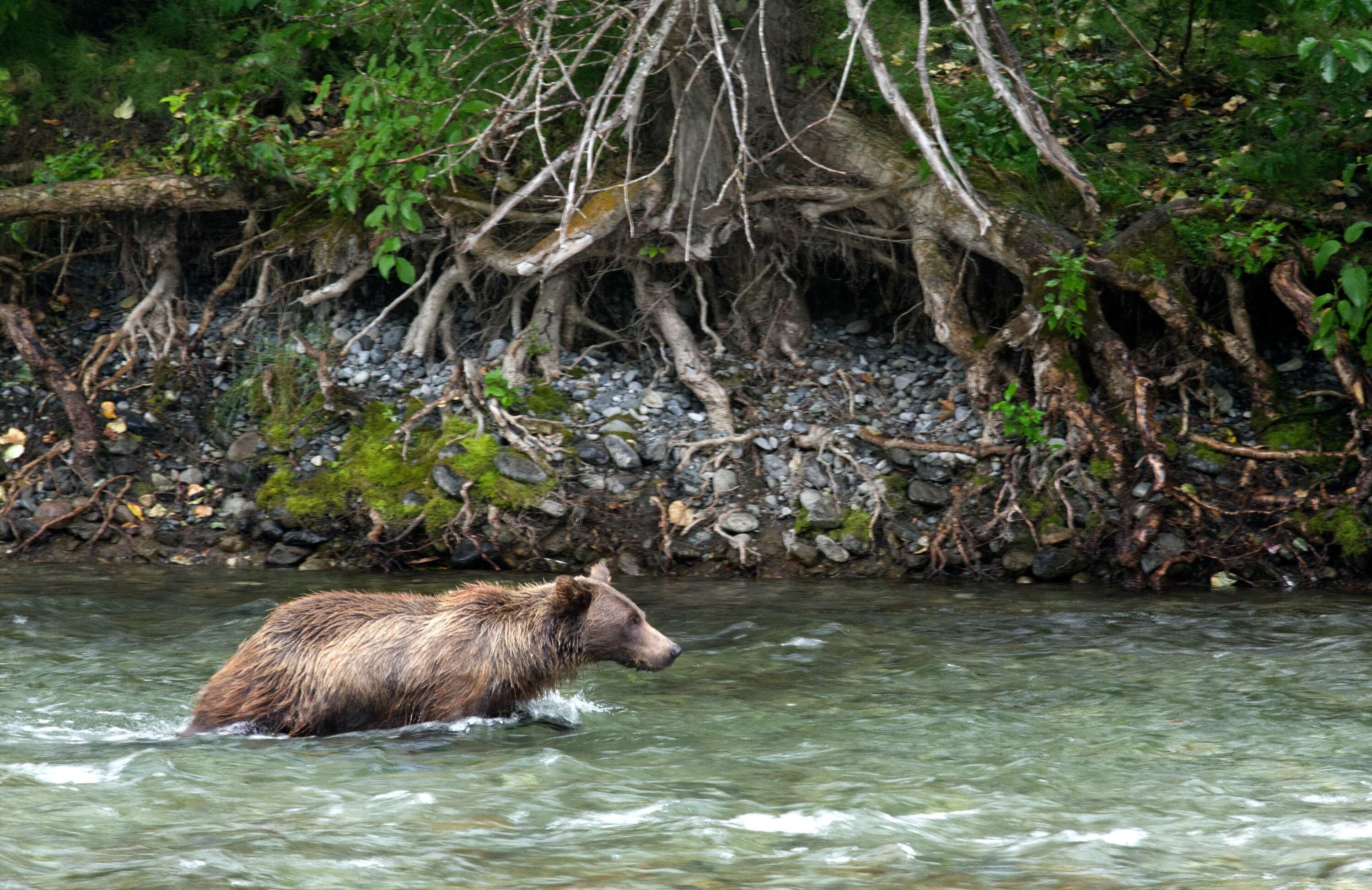 Fern hunts for salmon in the river. (National Geographic for Disney+/Samuel Ellis)