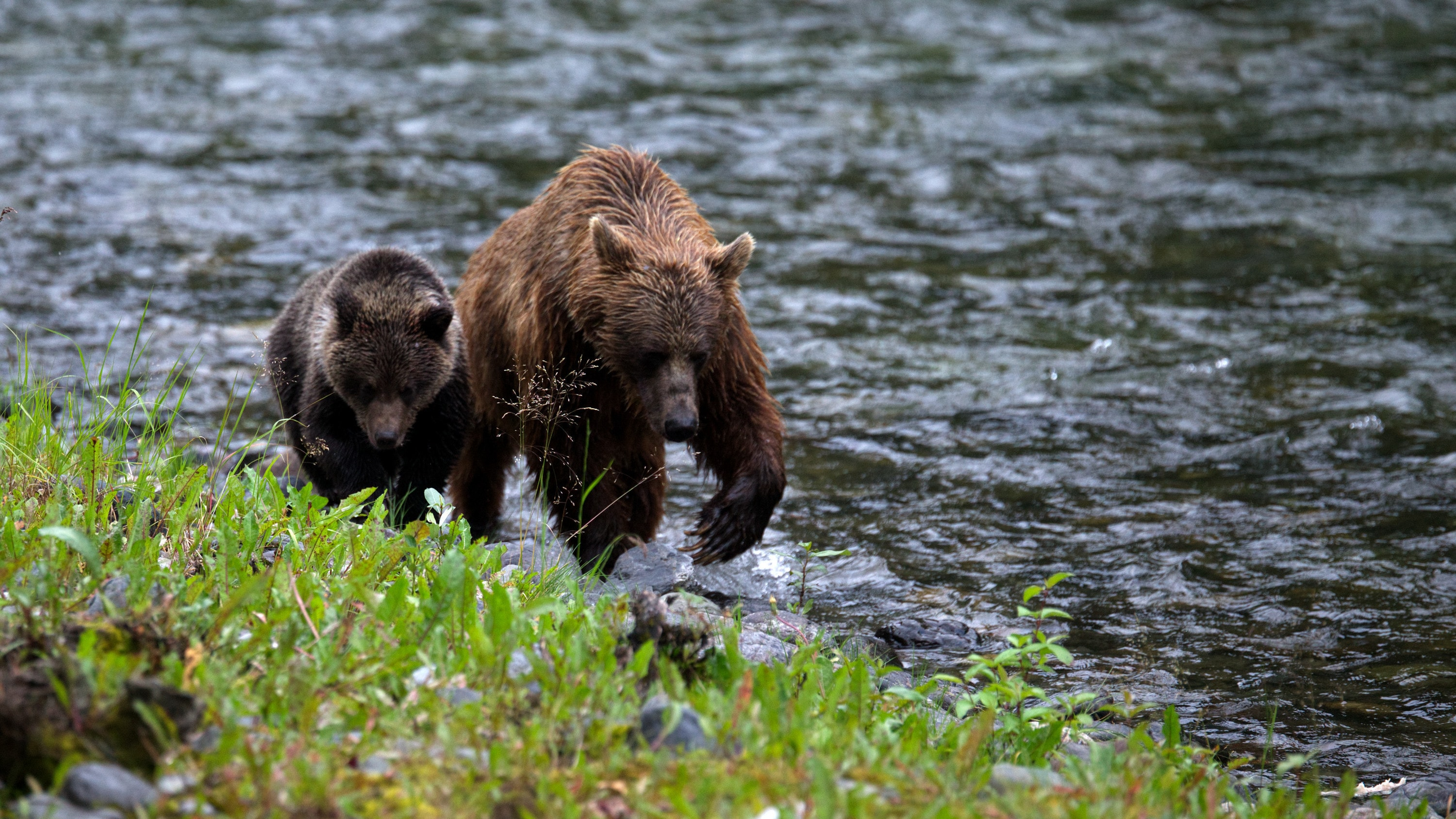 Two grizzly bears walk along the bank of the river. (National Geographic for Disney+/Samuel Ellis)