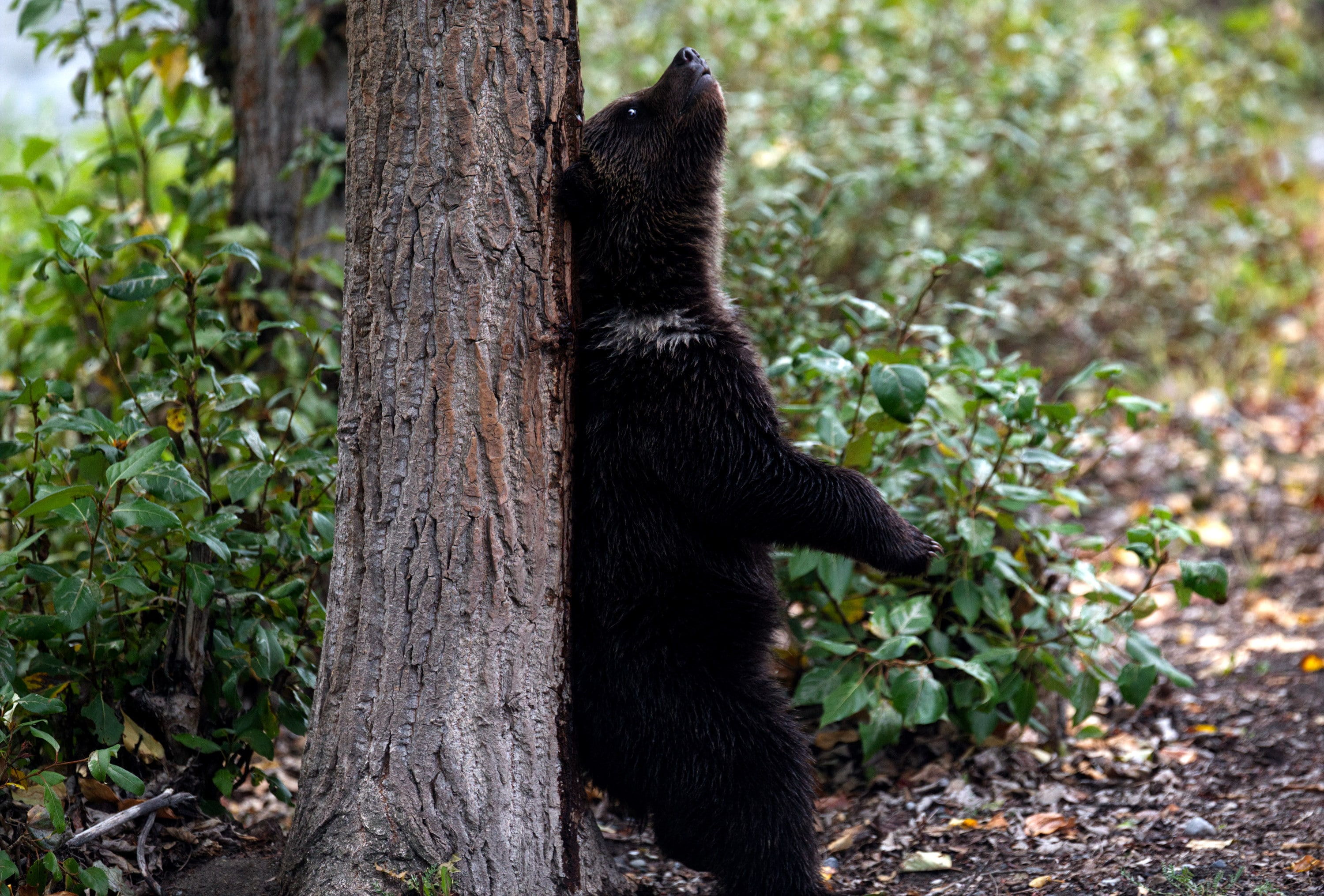 Bear cub standing and scratching his back on tree trunk. (National Geographic for Disney+/Samuel Ellis)