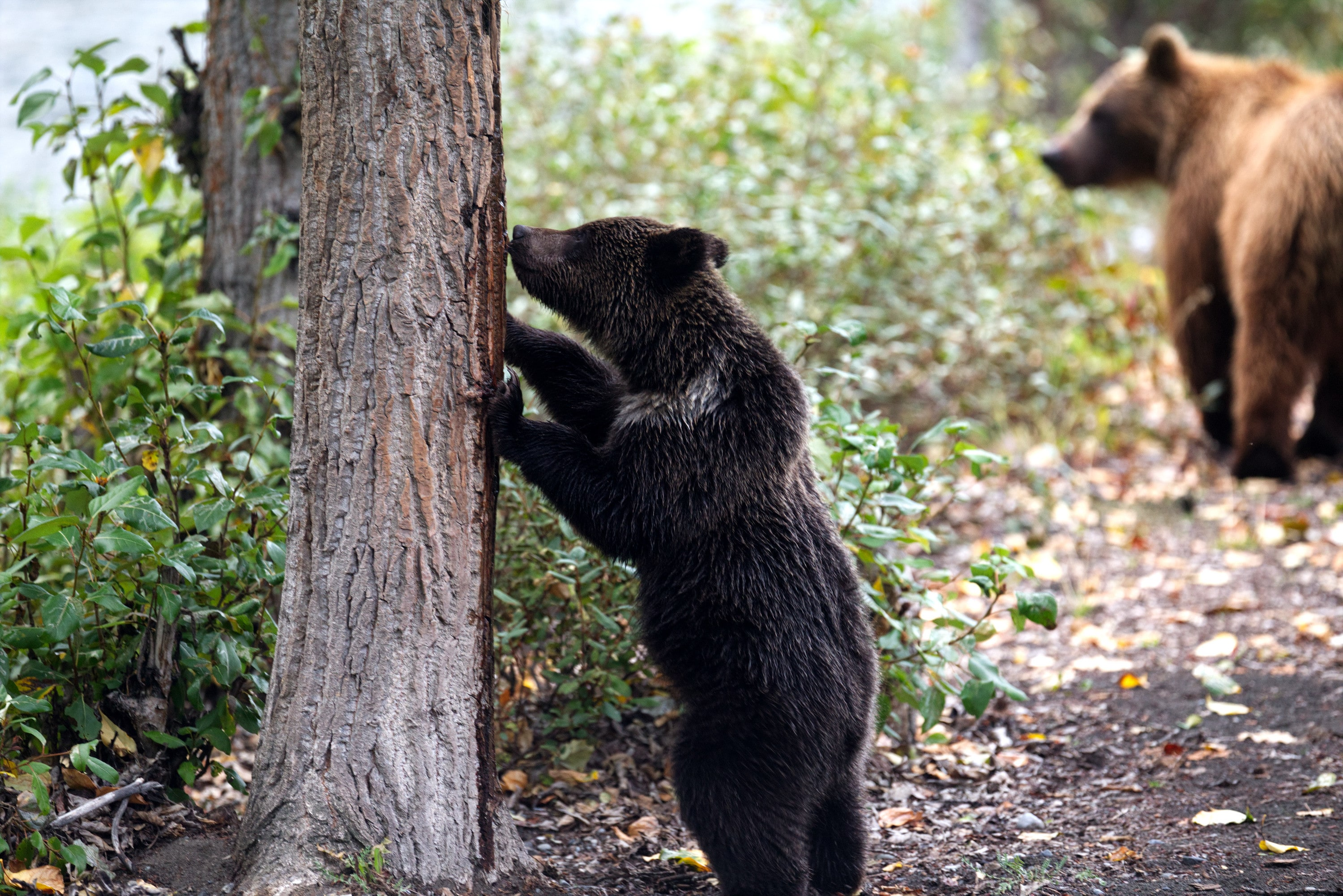 Bear cub standing against a tree and sniffing the bark near the river. (National Geographic for Disney+/Samuel Ellis)