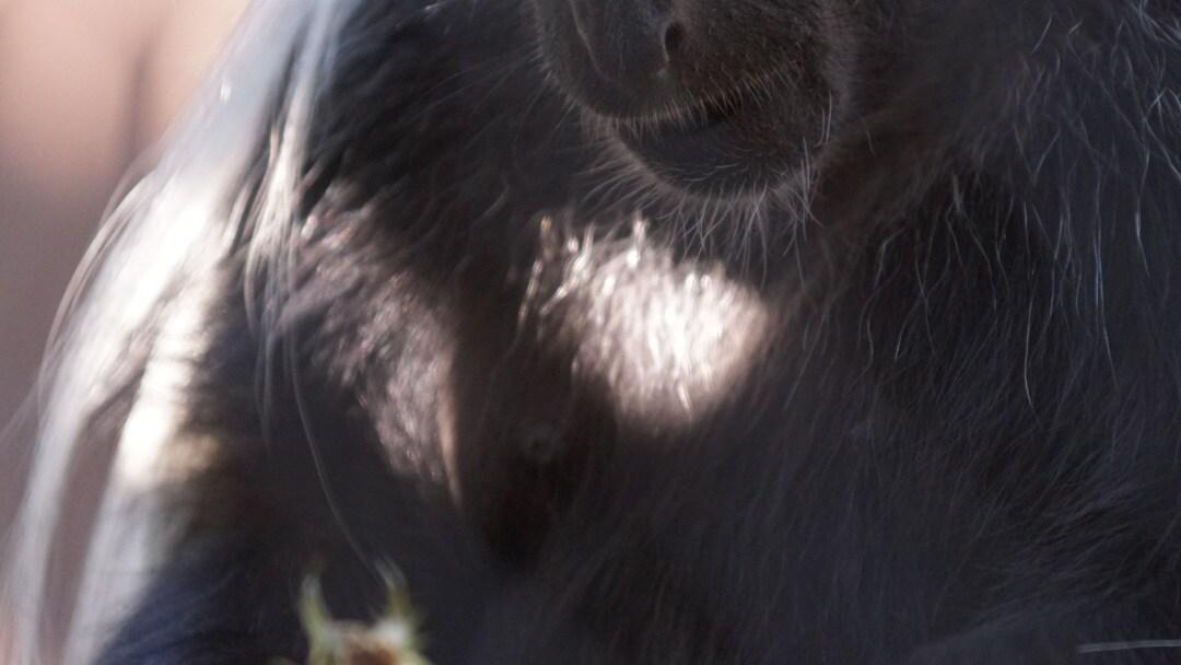 Black and White Colobus at Gorilla Falls Exploration Trail. (Disney)