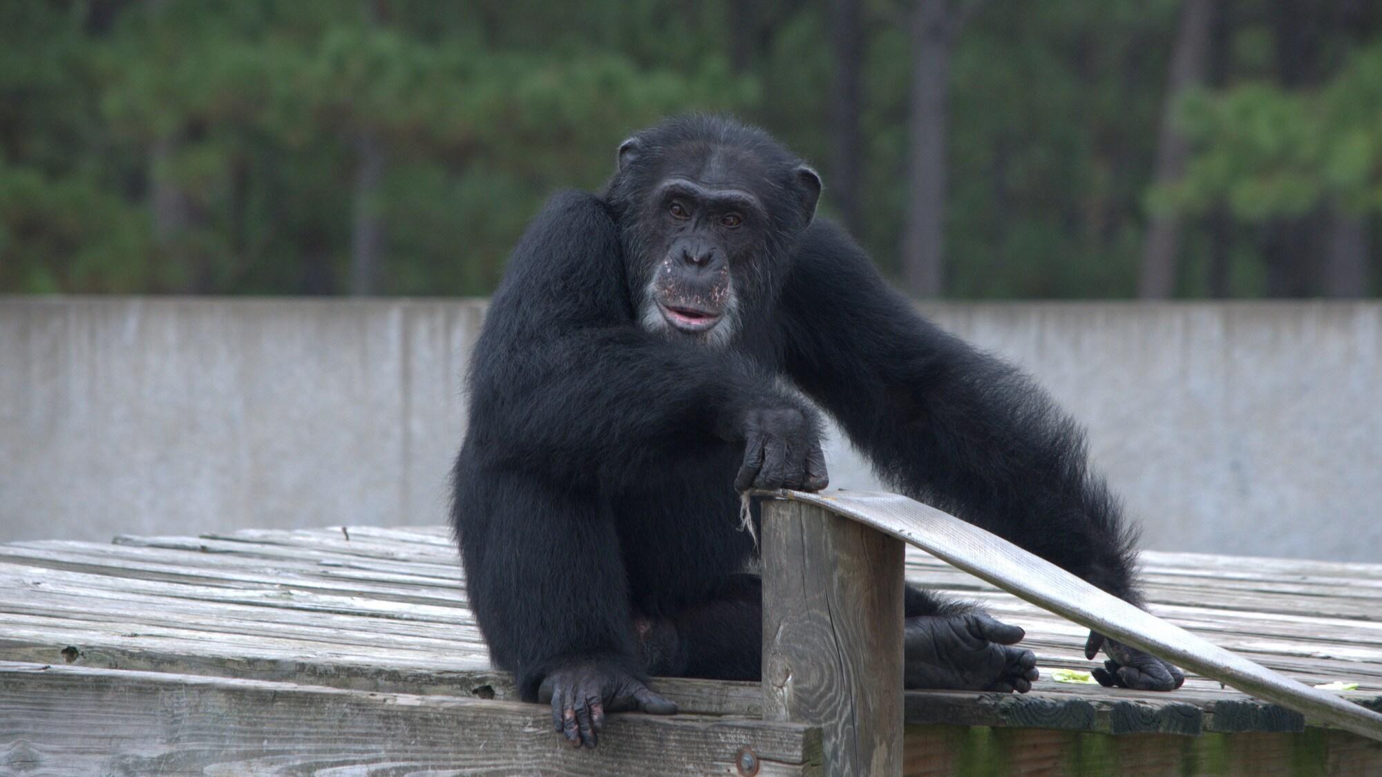 Henry sat on platform looking into distance. Donovan's group. (Chimp Haven)