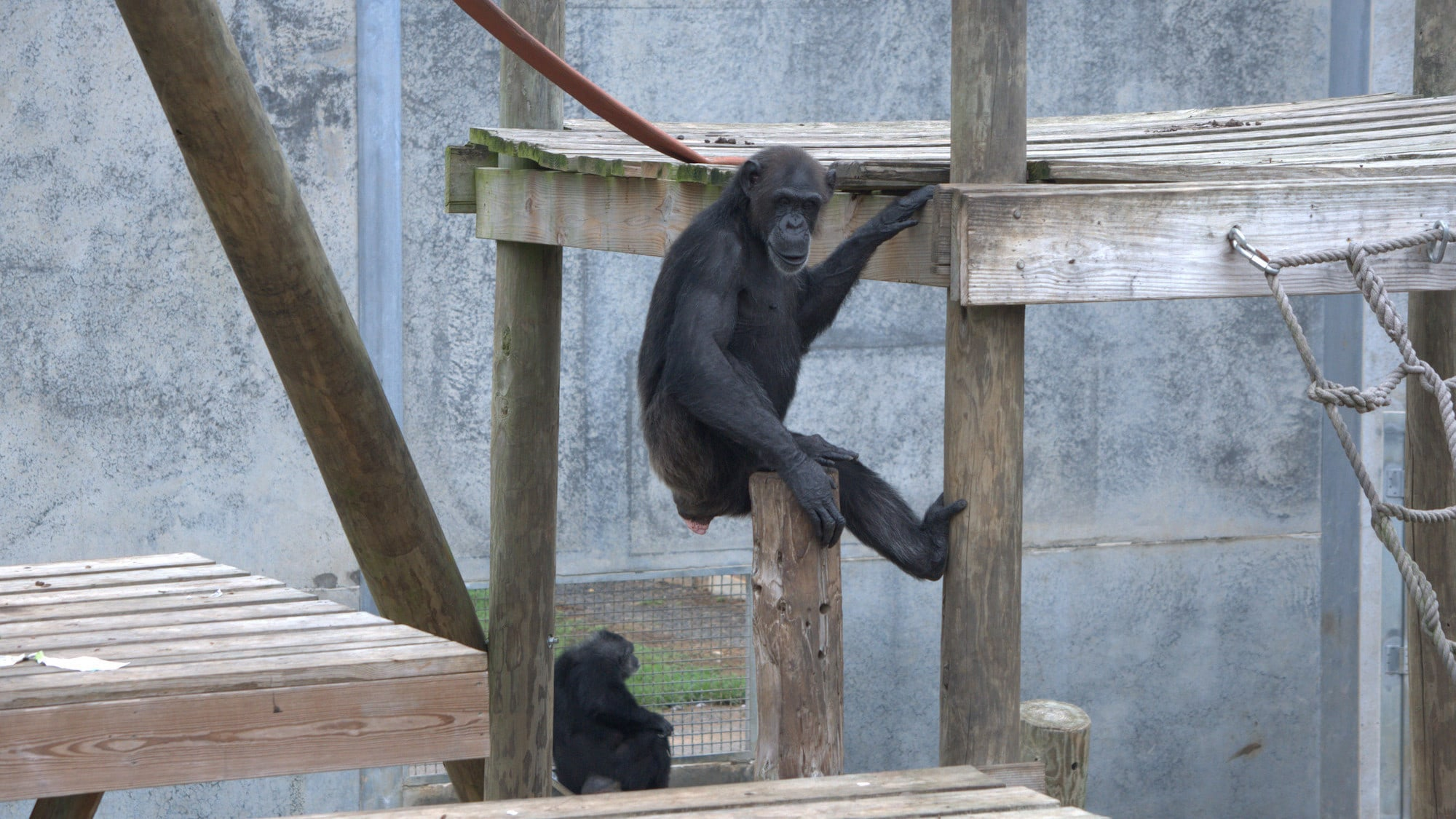 Marie sat on top of wooden pole. One hand on the pole, the other resting on the platform. Donovan's group. (Chimp Haven)