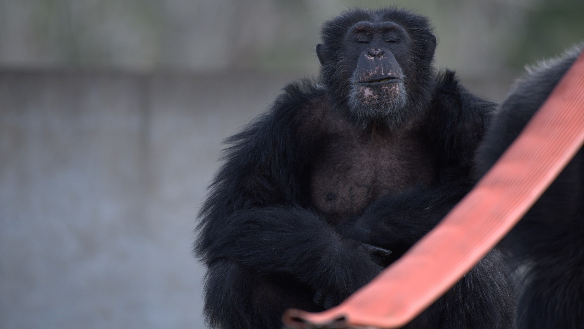 Austin sitting, head held high with eyes shut. Spock's group. (Chimp Haven)