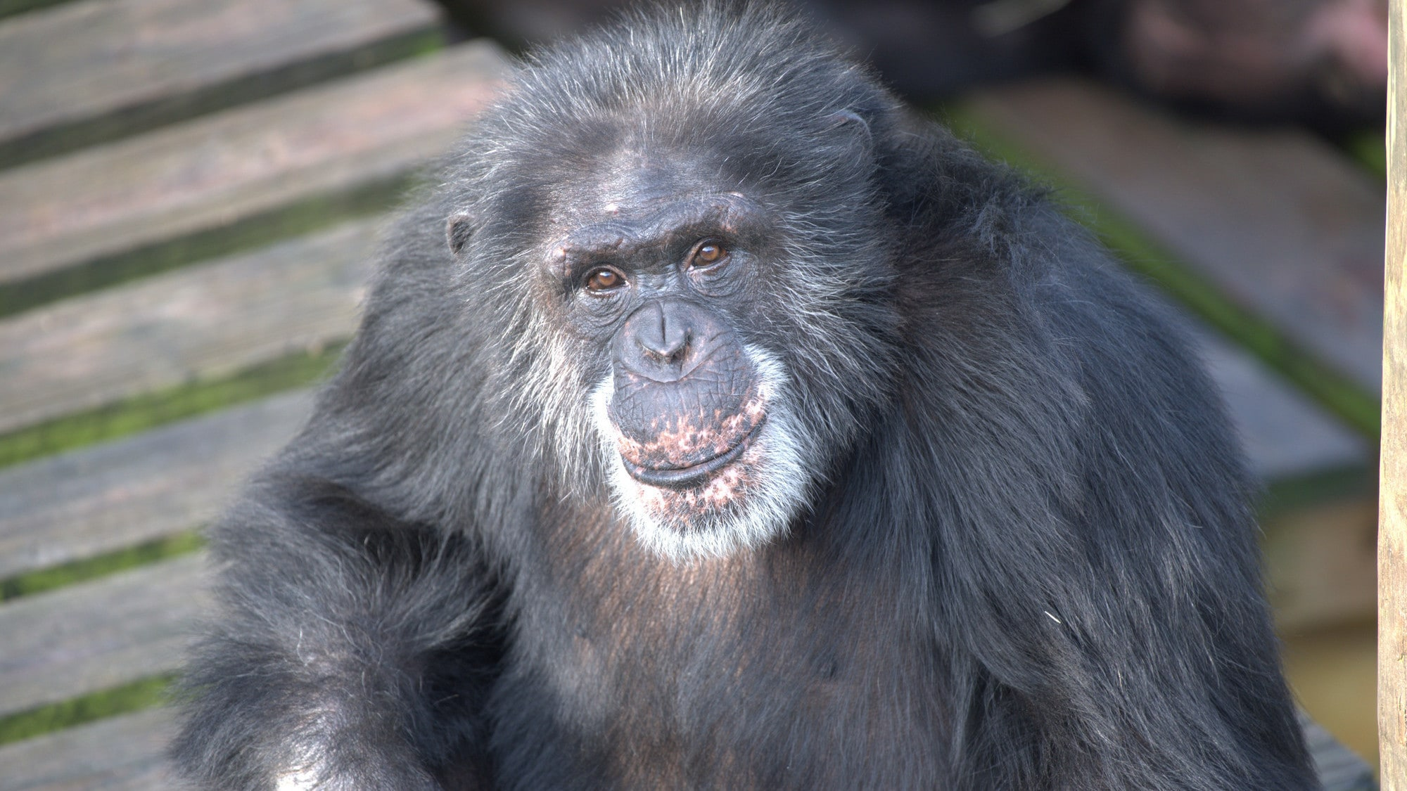 Bowen looking up at the camera. Spock's group. (Chimp Haven)