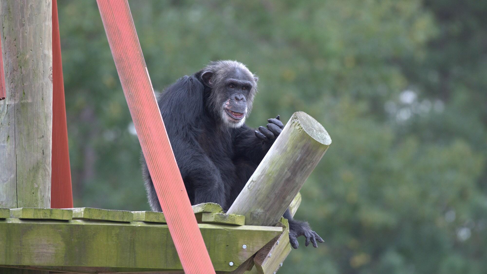 TJ on wooden platform. (Chimp Haven)