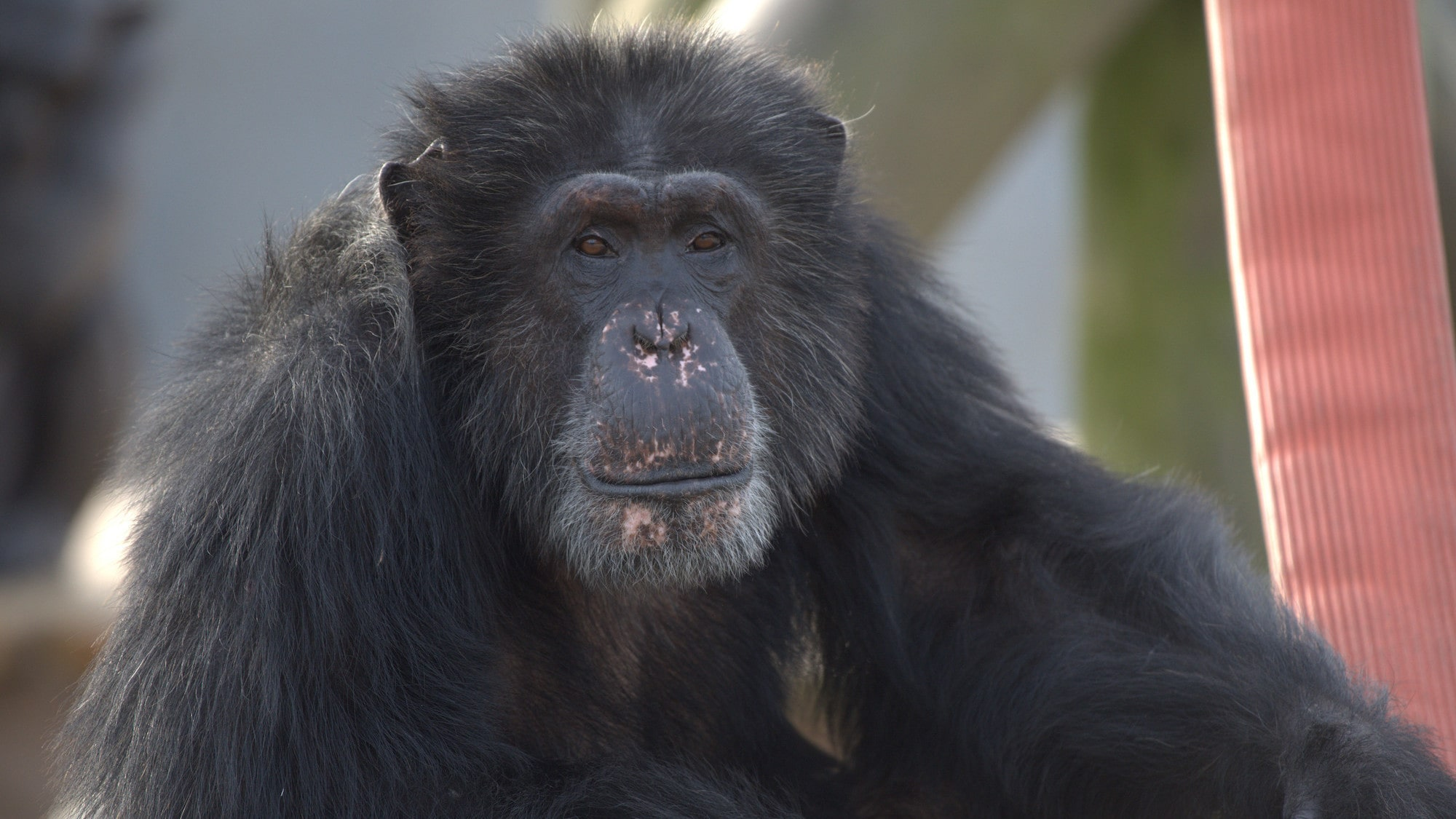 Austin close up. Looking towards camera. Spock's group. (Chimp Haven)