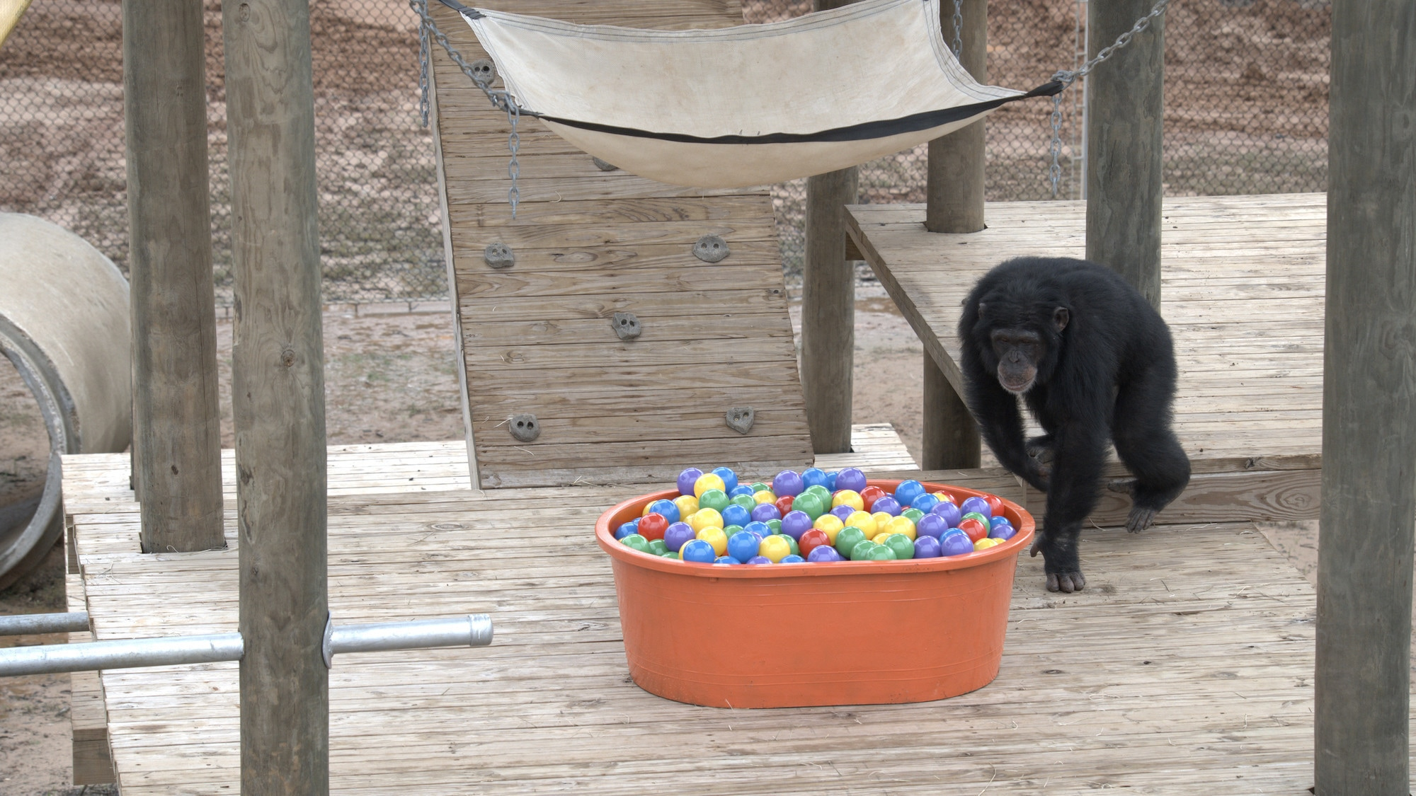 Riley walking up to investigate ball pit for the first time. Slim's group. (National Geographic/Virginia Quinn)
