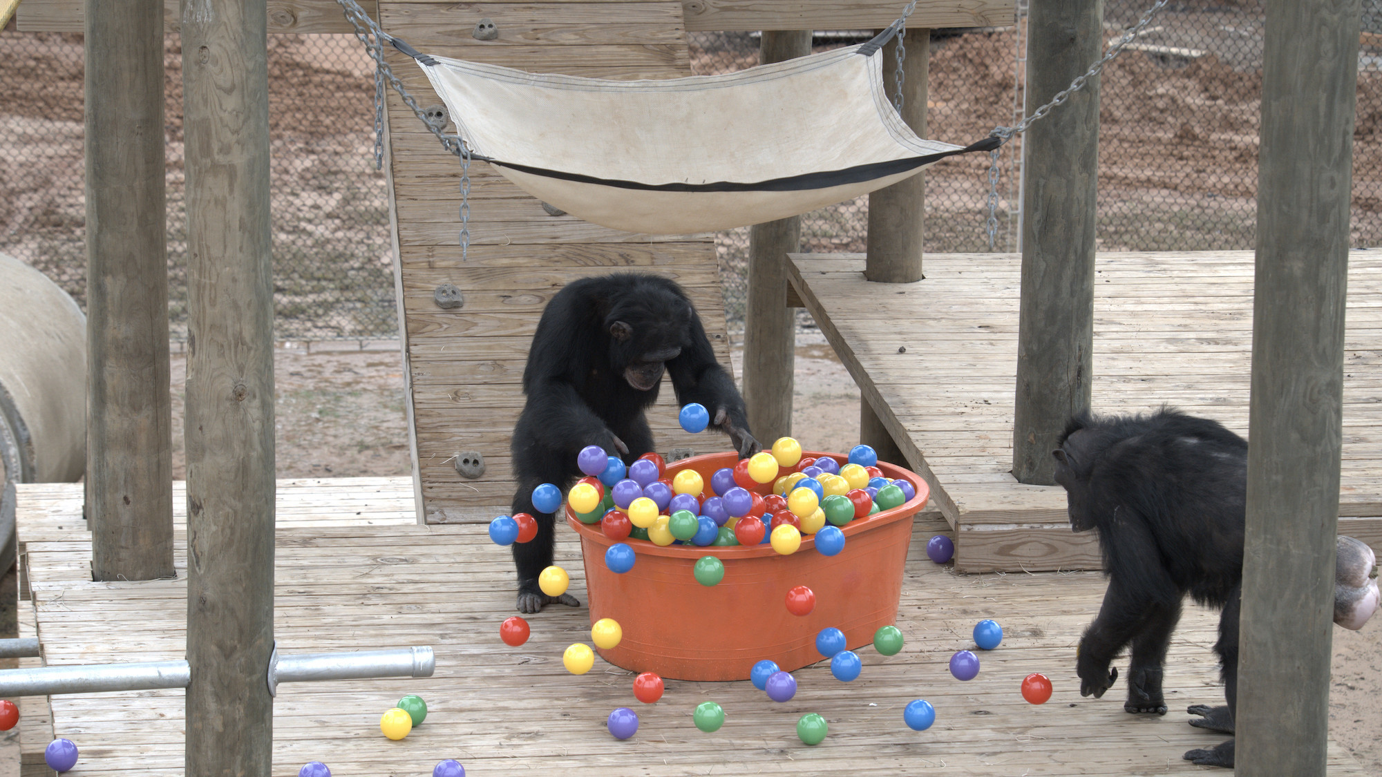 Riley tossing balls out of the ball pit as another chimp approaches. Slim's group. (National Geographic/Virginia Quinn)