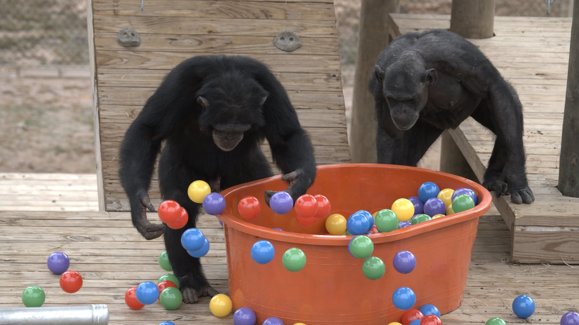 Riley tossing balls out of the ball pit as Chakema peers in. Slim's group. (National Geographic/Virginia Quinn)