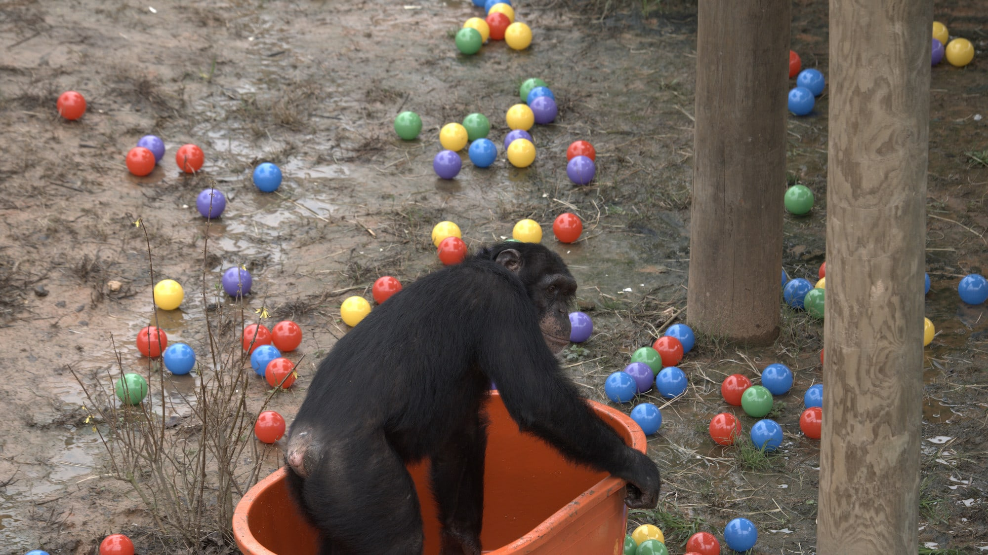Riley is in the empty ball pit, all the balls are all over the ground after he's emptied the pit. Slim's group. (National Geographic/Virginia Quinn)