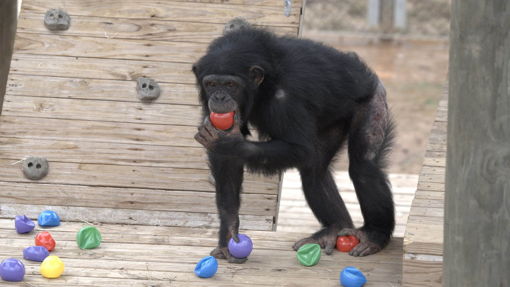 Onyx chewing a red ball. Slim's group. (National Geographic/Virginia Quinn)