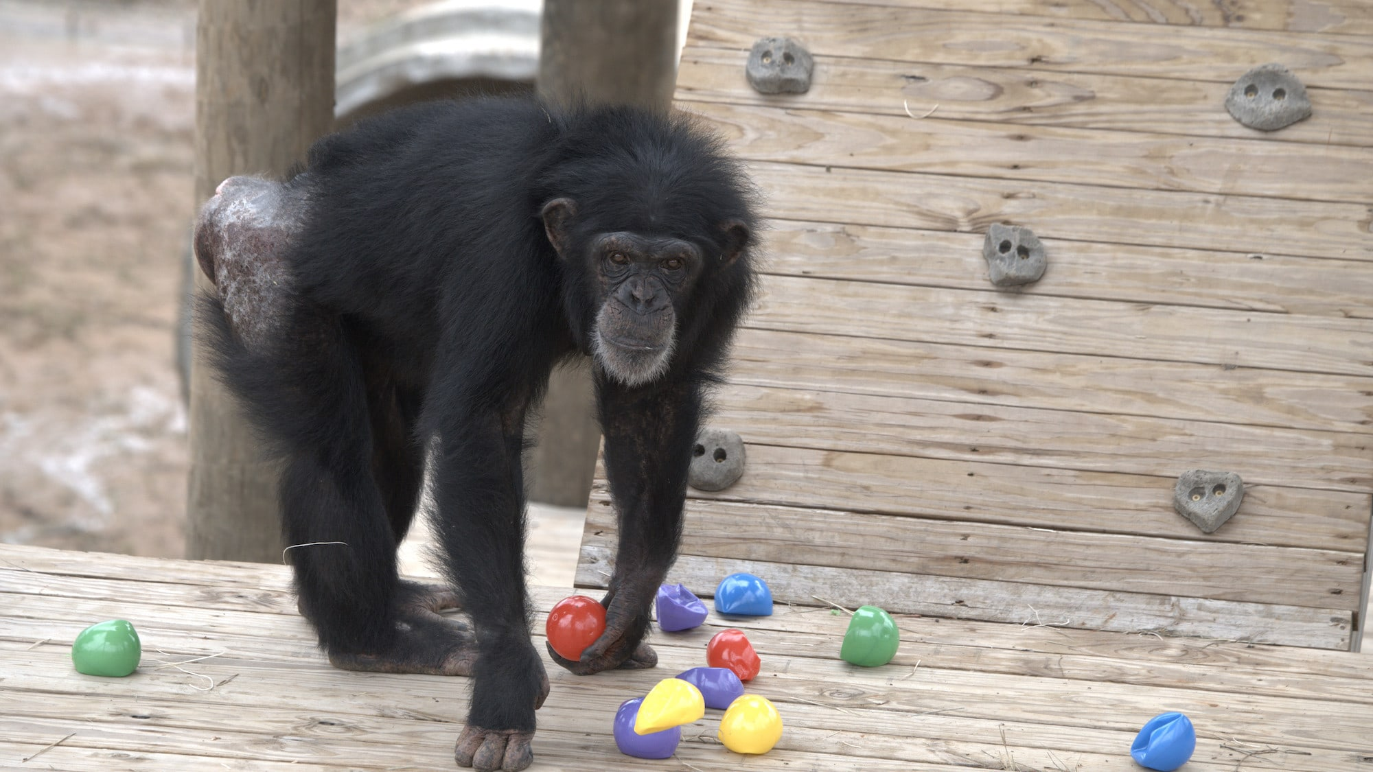 Onyx holding a red ball. Slims's group. (National Geographic/Virginia Quinn)