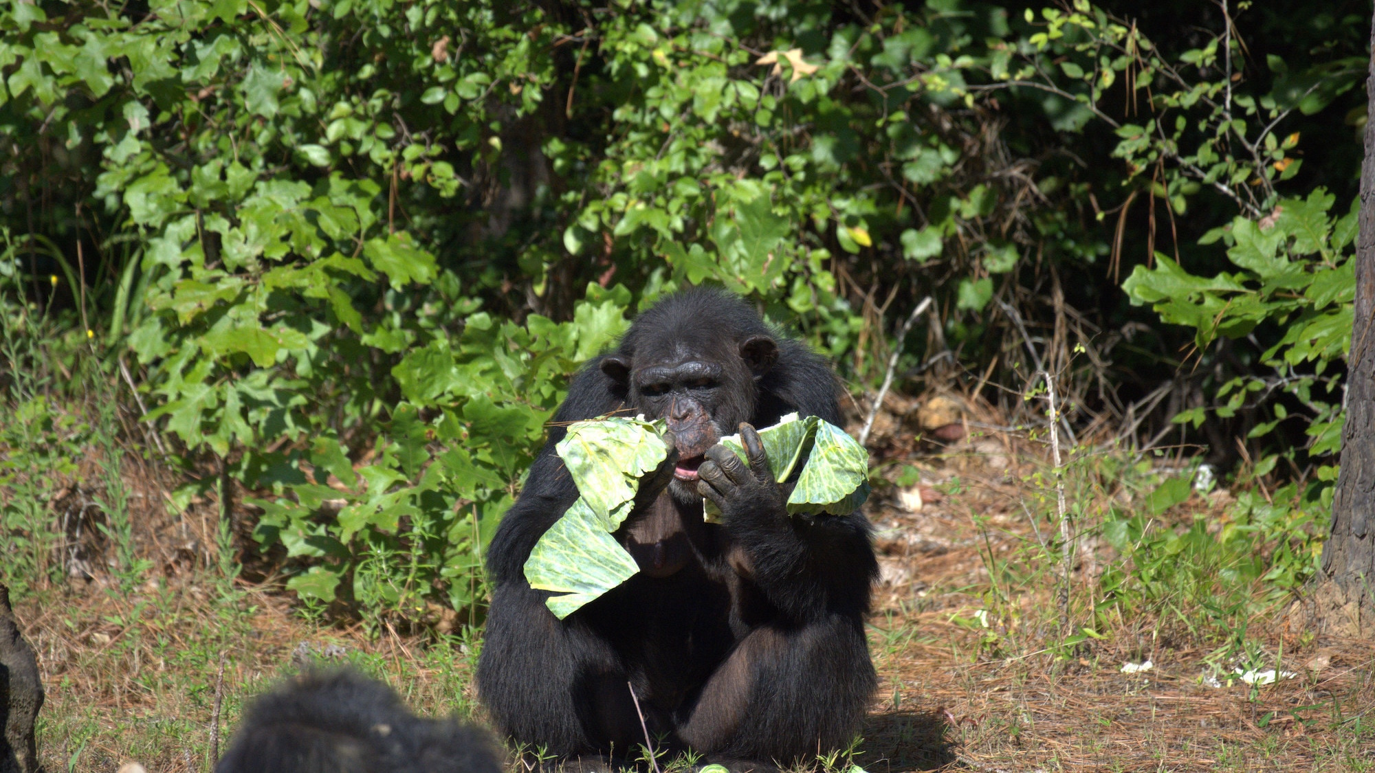 Passion eating a bit of lettuce. Sara Soda's group. (National Geographic/Virginia Quinn)