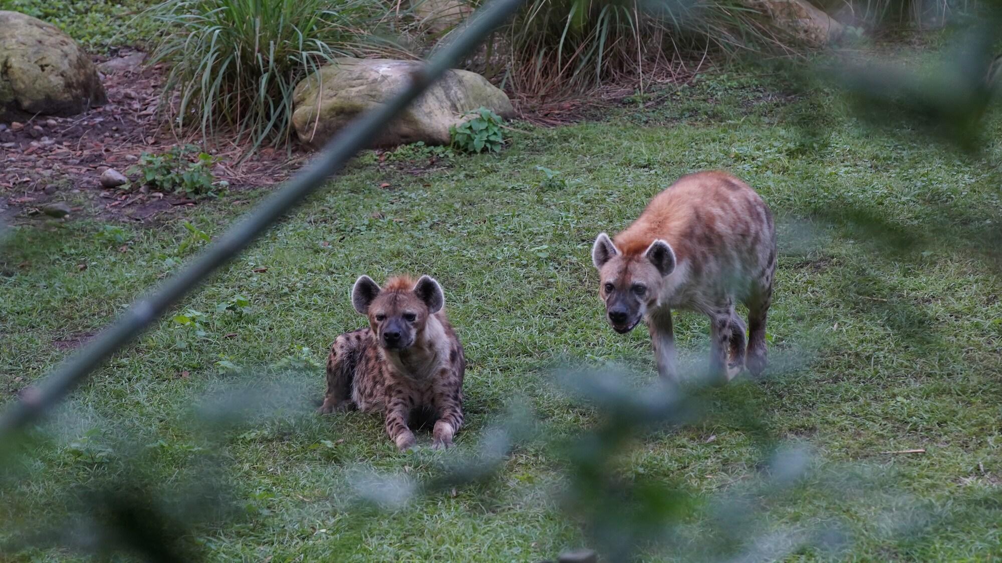 Spotted hyenas on the Kilimanjaro Safari. (Disney)