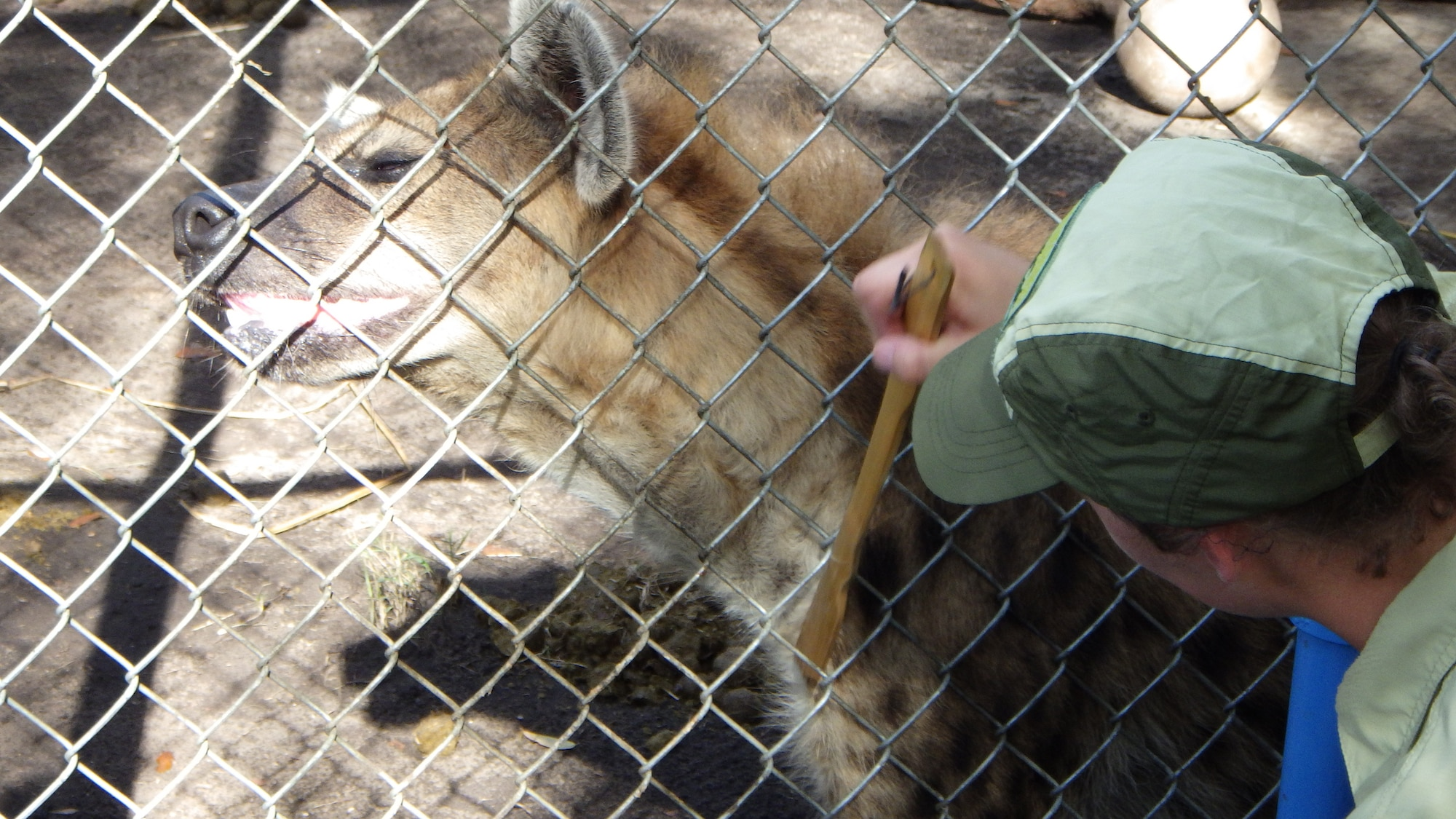 Keeper Kendall Lewis scratches a spotted hyena. (Disney)