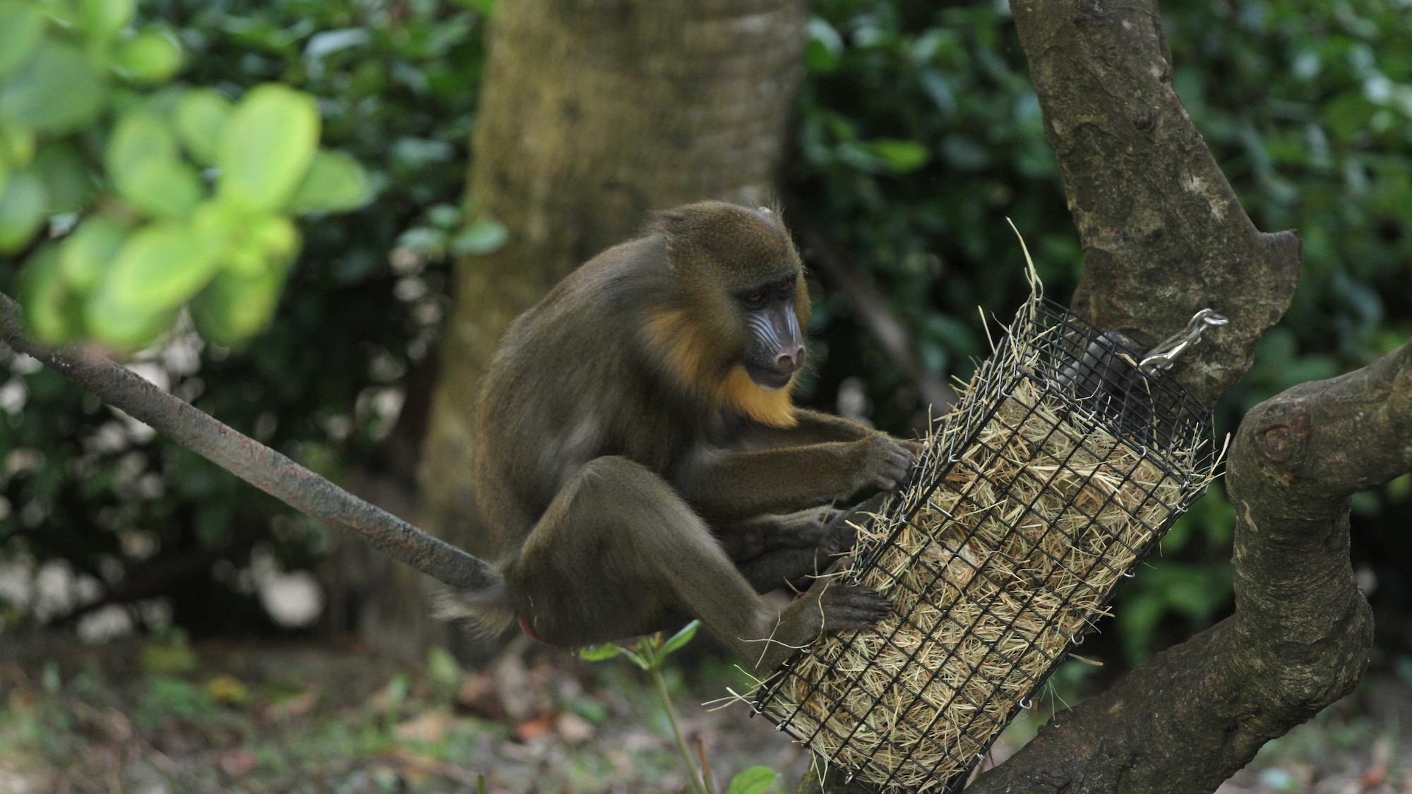 Mandrill investigates an enrichment item placed in the enclosure by the keepers as source of food and stimulation. (Disney)