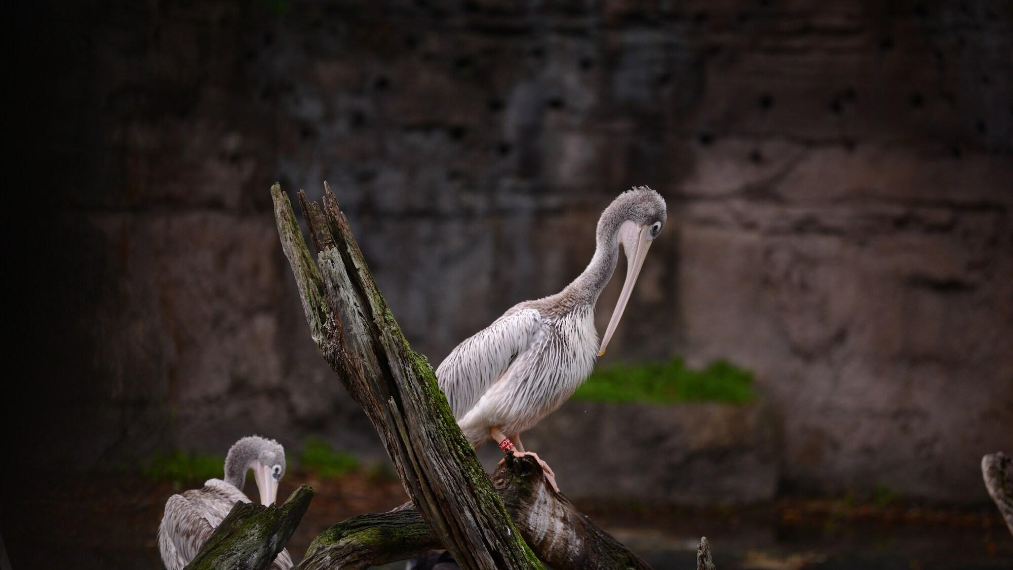 Pink Backed Pelican at Kilimanjaro Safari. (National Geographic/Gene Page)