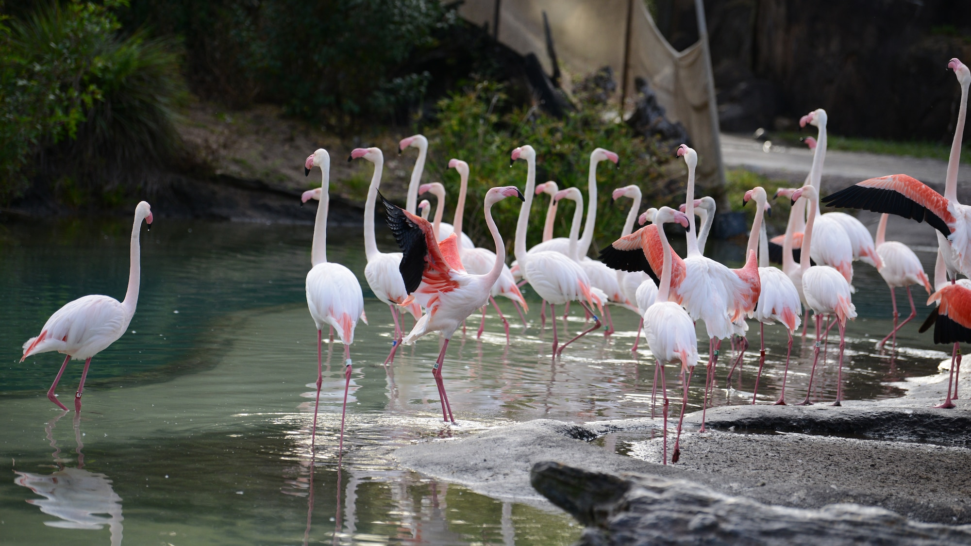 A group of flamingos, also know as a flamboyance, at Kilimanjaro Safari. (National Geographic/Gene Page)