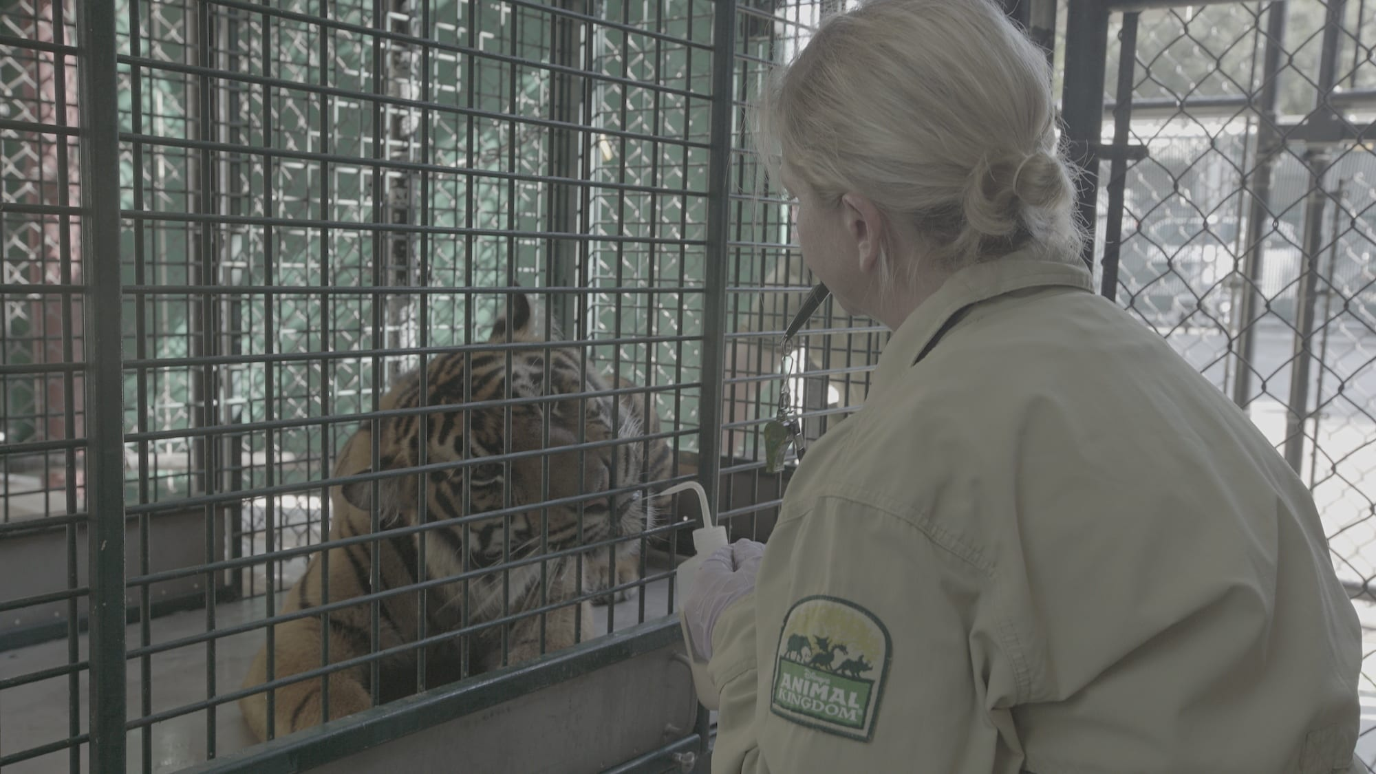 A mock blood draw routine with the park's Sumatran tigers. (Disney)